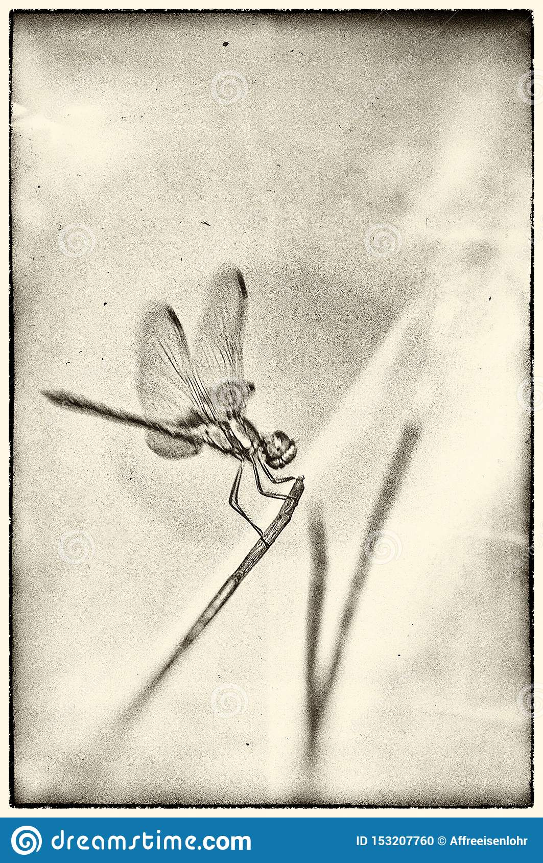 Dragonfly posed for a broom stalk on textured background
