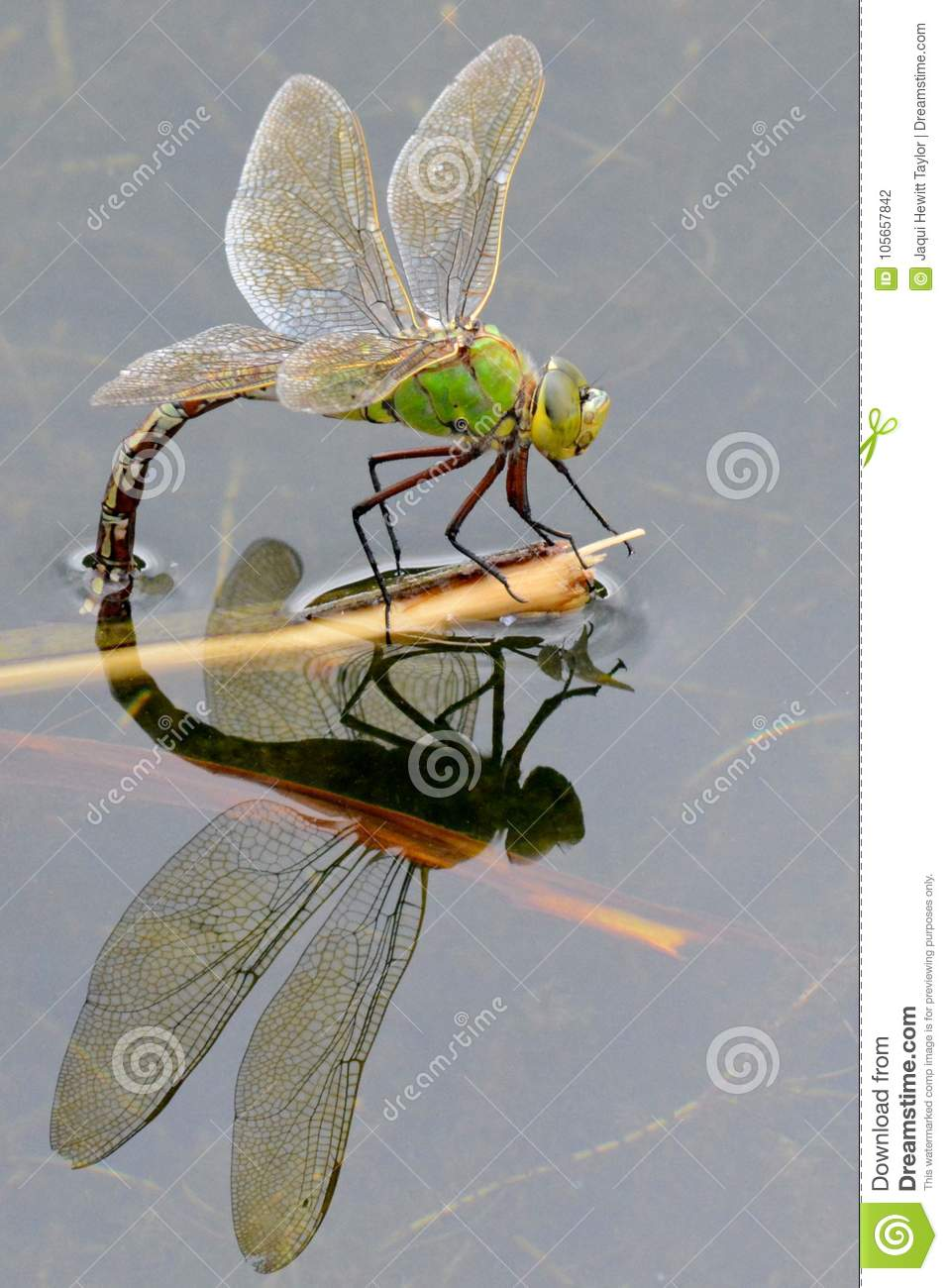 A dragonfly reflected in the water