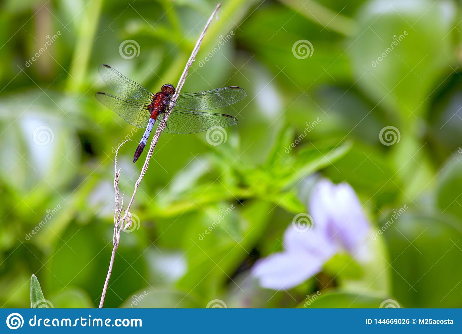 Dragonfly resting on a dry straw of grass