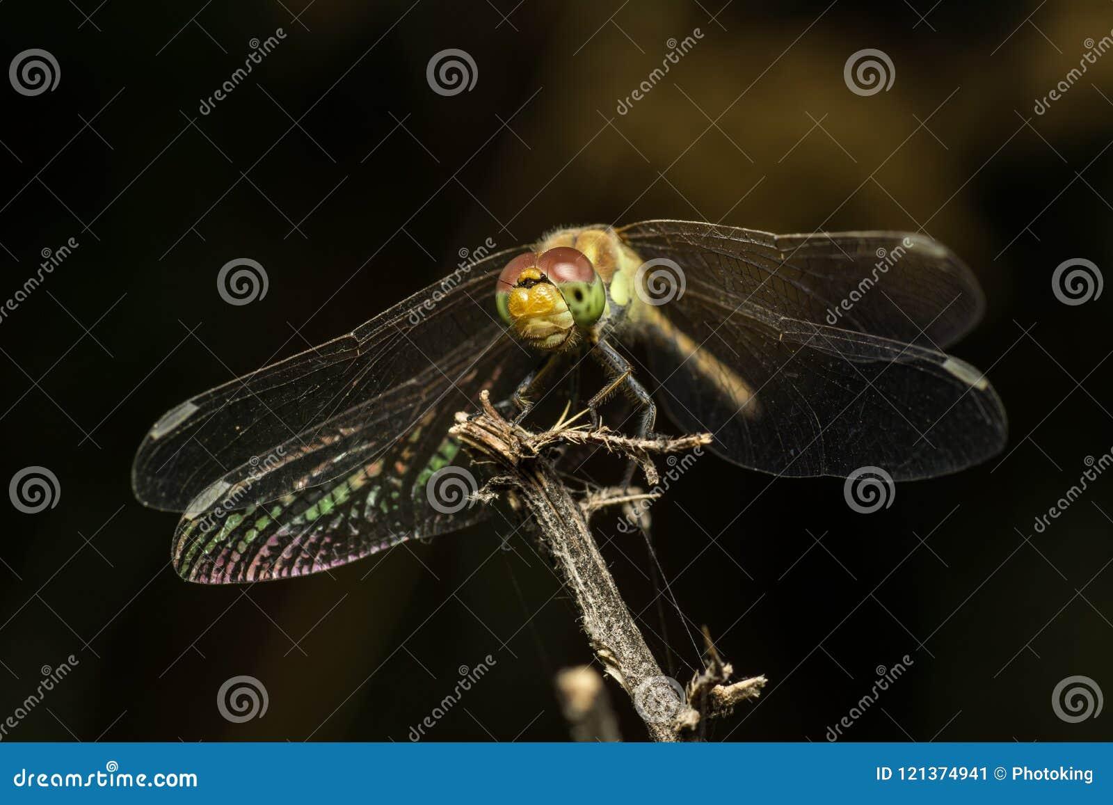 Dragonfly resting