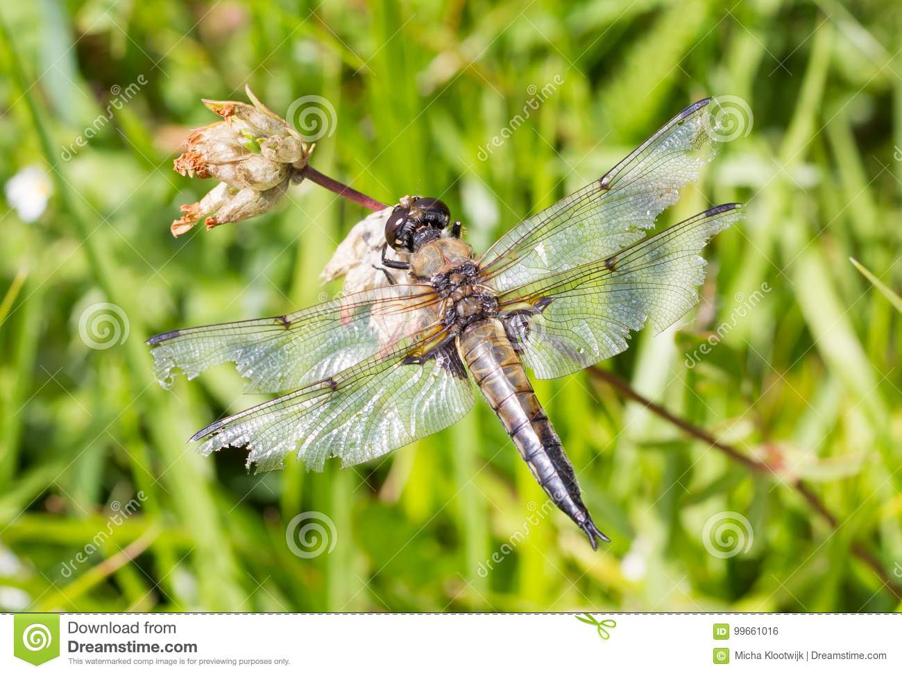 Dragonfly resting over a small flower