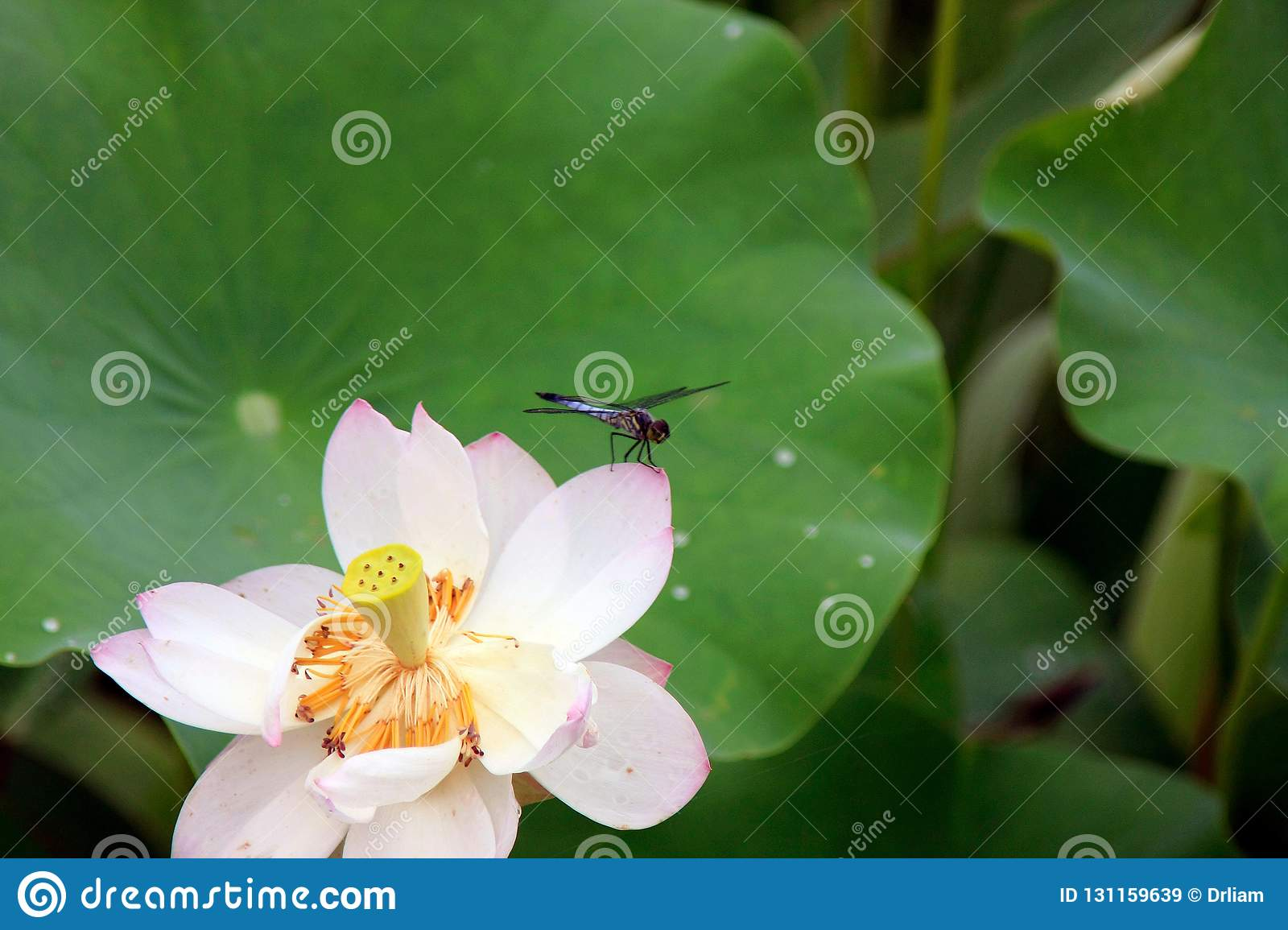 Dragonflies And Lotus Flowers Stock Image Image Of Charming Pond