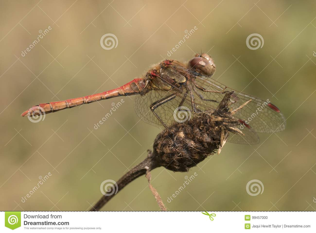 Dragonfly on seed head