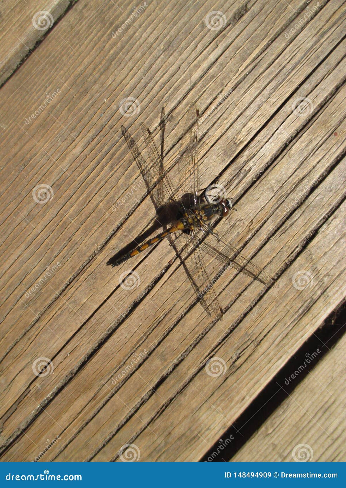 Dragonfly siedzący puszek odpoczywać