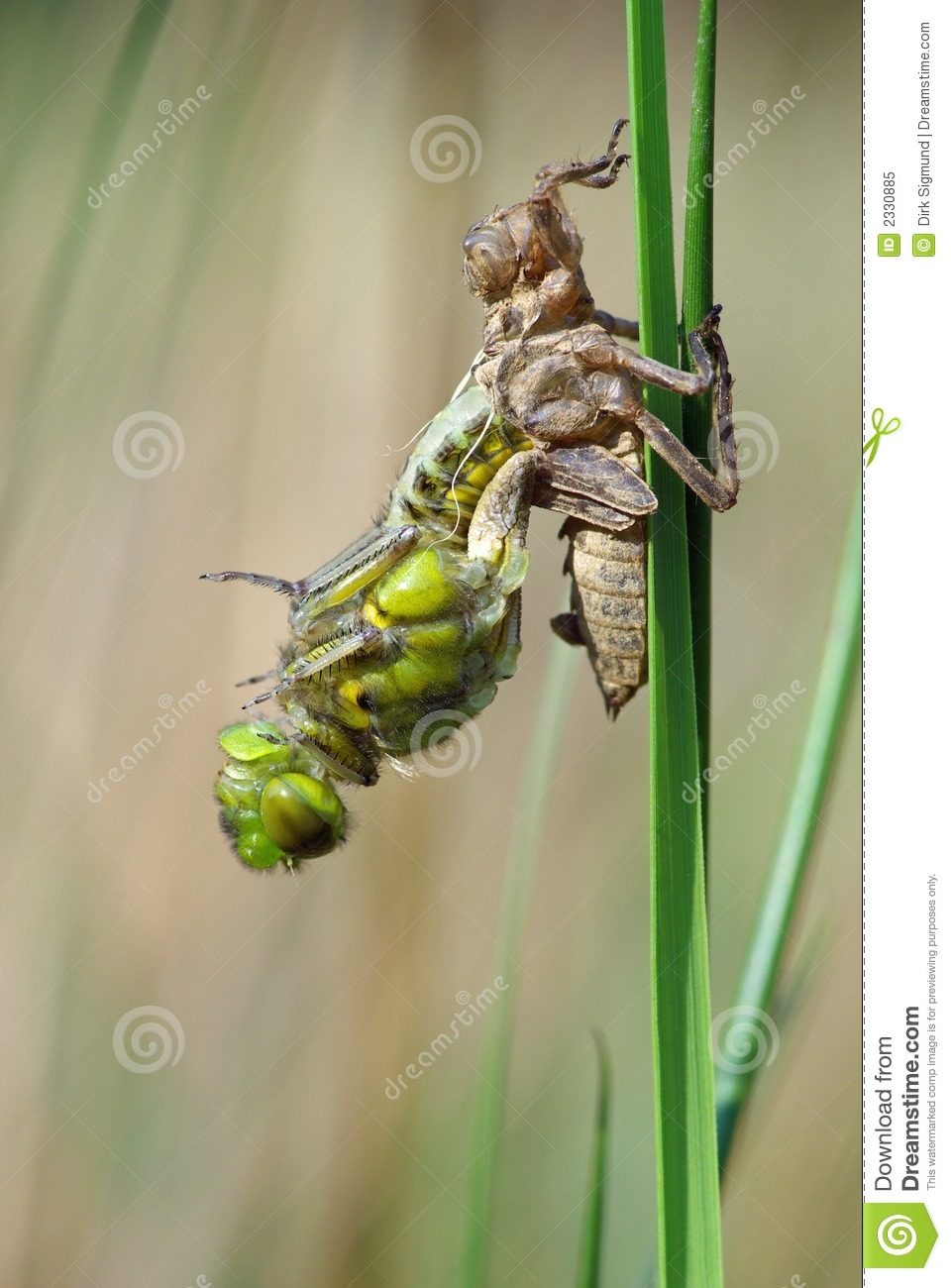 Dragonfly Transformation 1 Stock Image Image Of Molting