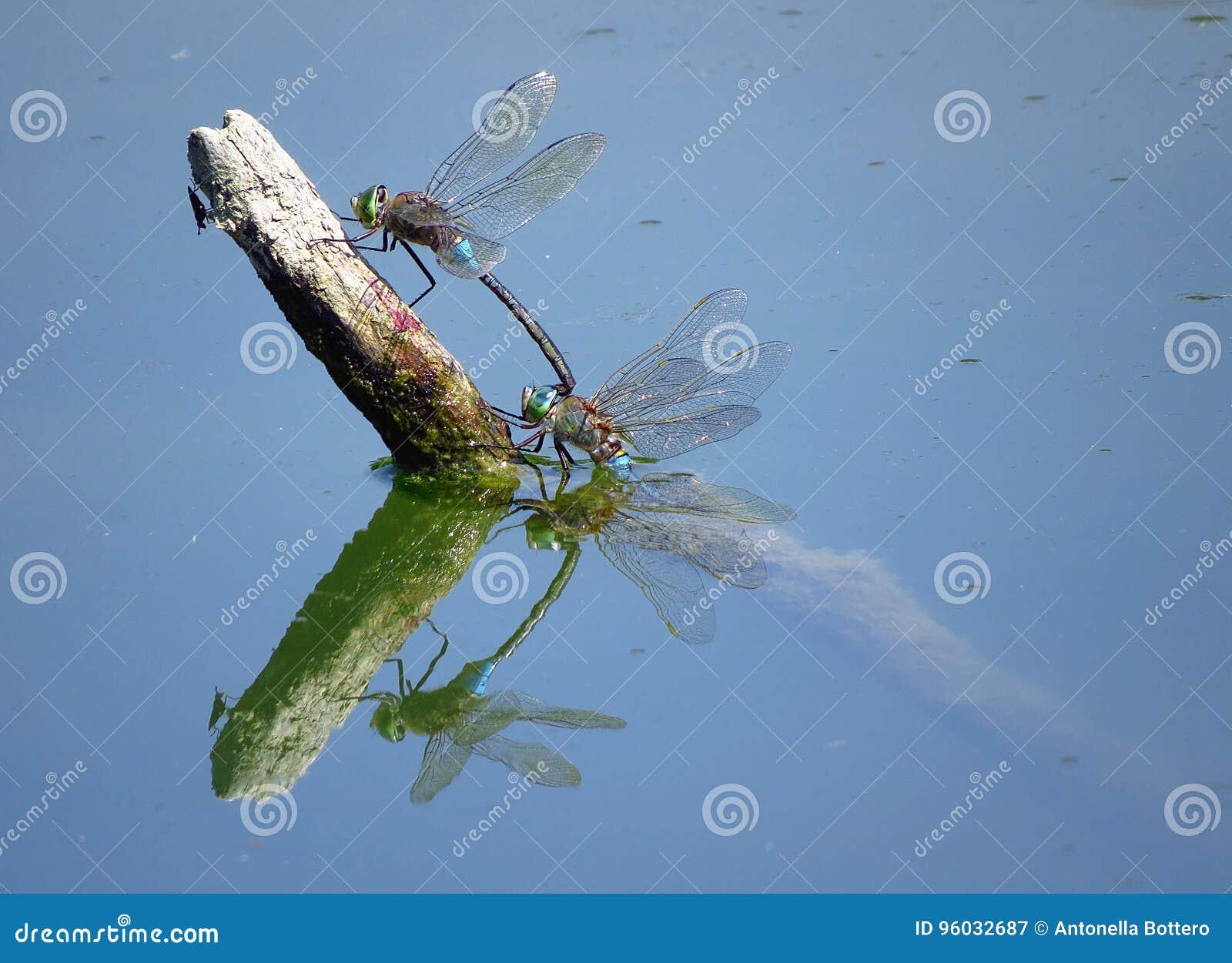 Dragonfly w lustrze
