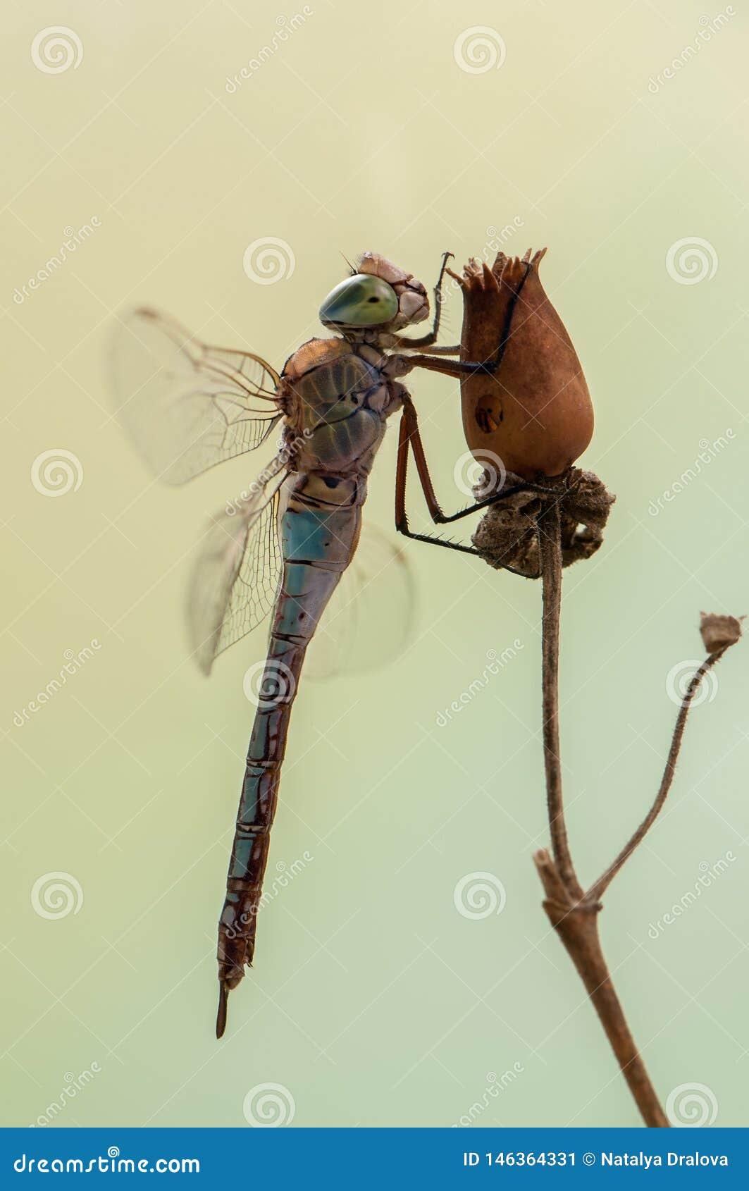 Dragonfly w wczesnym poranku suszy swój skrzydła w łące