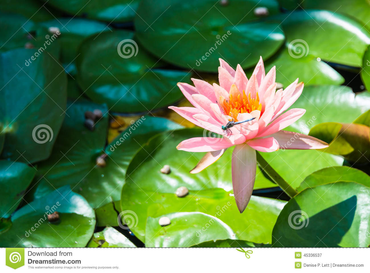 Dragonfly On Water Lily Flower Stock Image Image Of Lilies Dragon