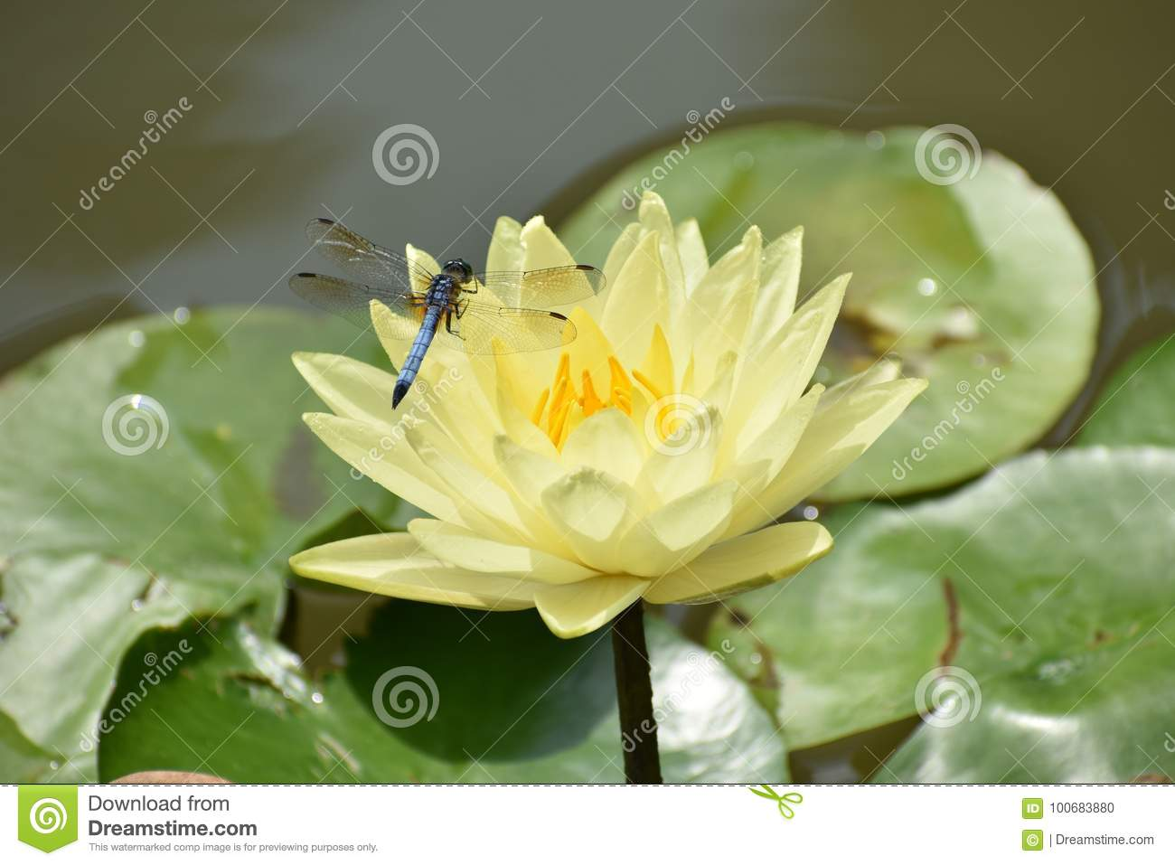 Dragonfly On Yellow Lotus Flower Stock Photo Image Of Ampla
