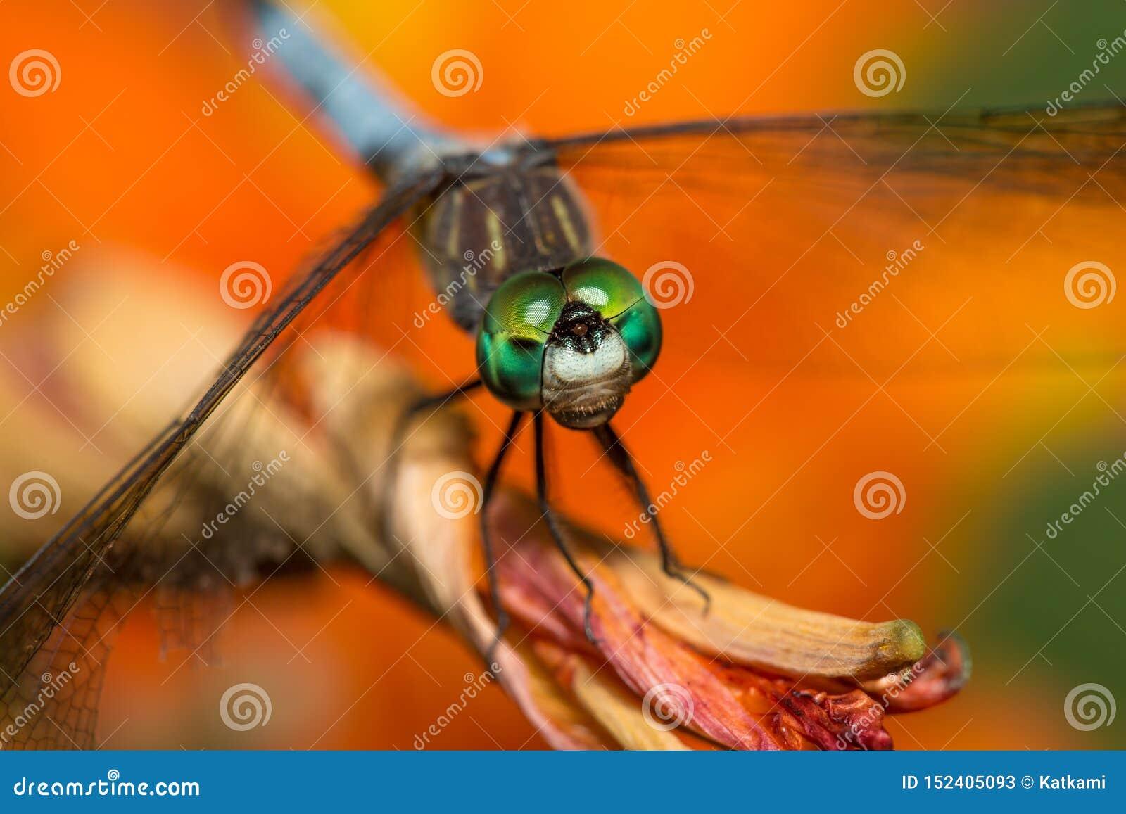 Dragonfly z jaskrawym - zieleni oczy na pomarańczowym kwiacie
