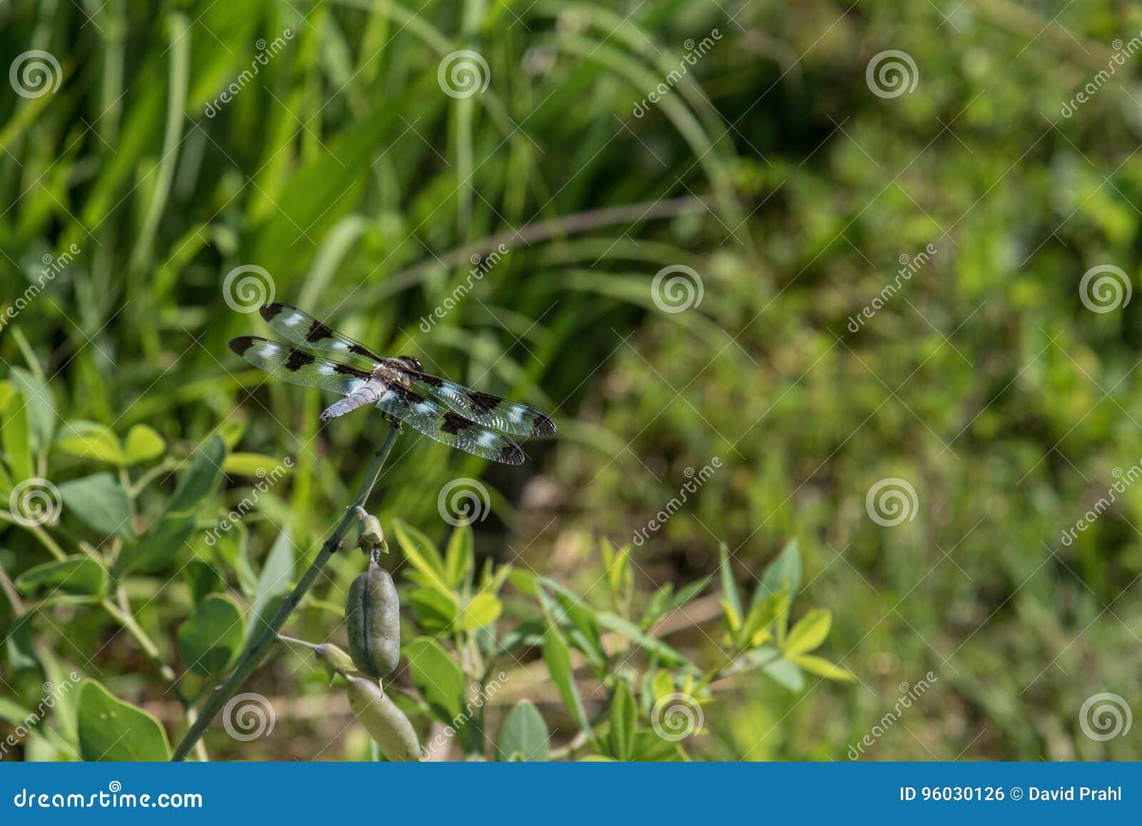 Dragonfly zbliżenie