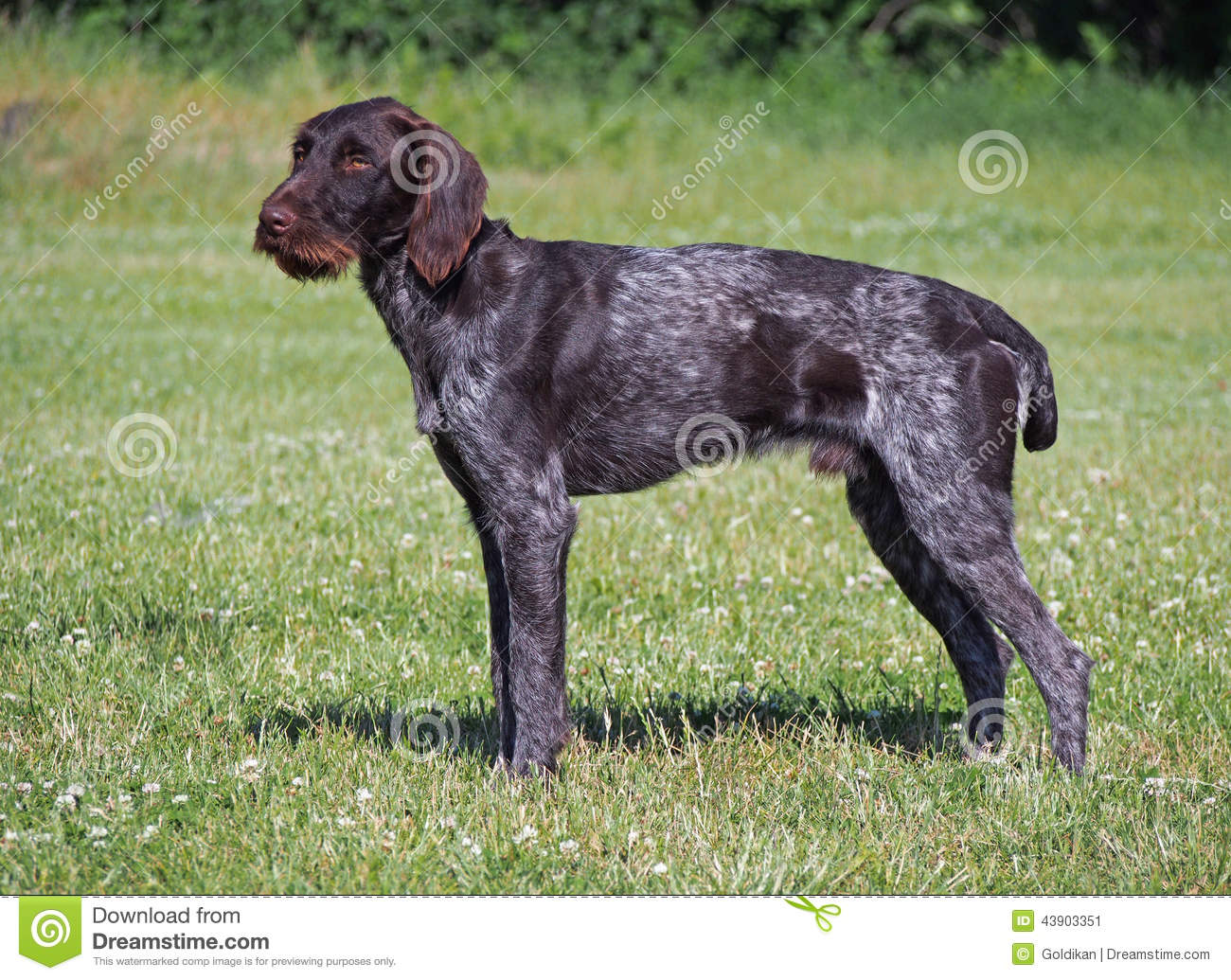 The drahthaar dog stock image. Image of outdoors, hair - 43903351