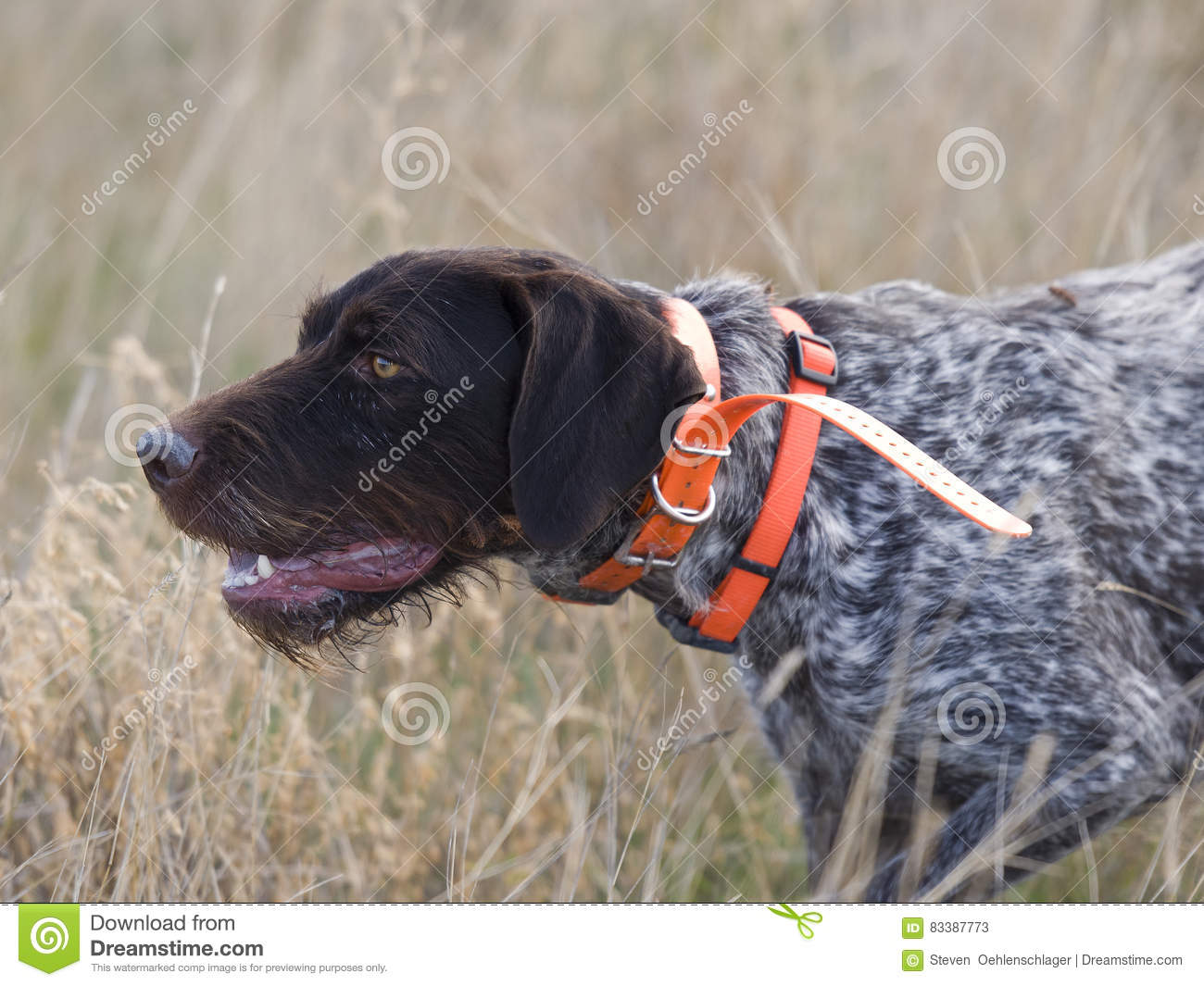Drahthaar hunting dog stock image. Image of point, wirehair - 83387773