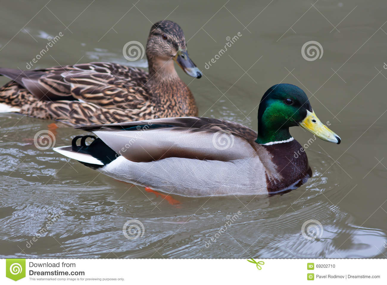 drake and female of mallard ducks on the water stock photo image