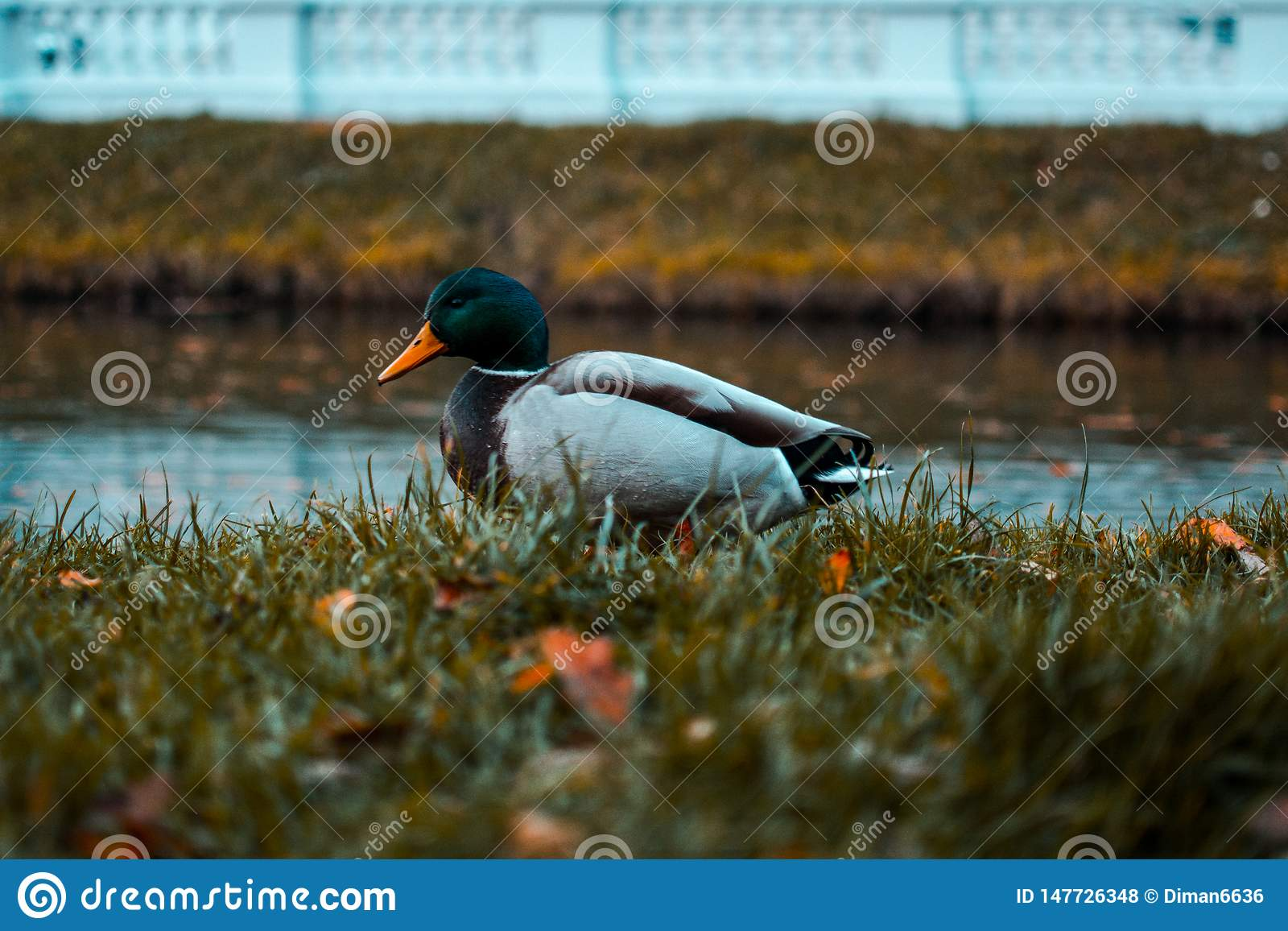 Drake in the Grass. Wild duck. Pond