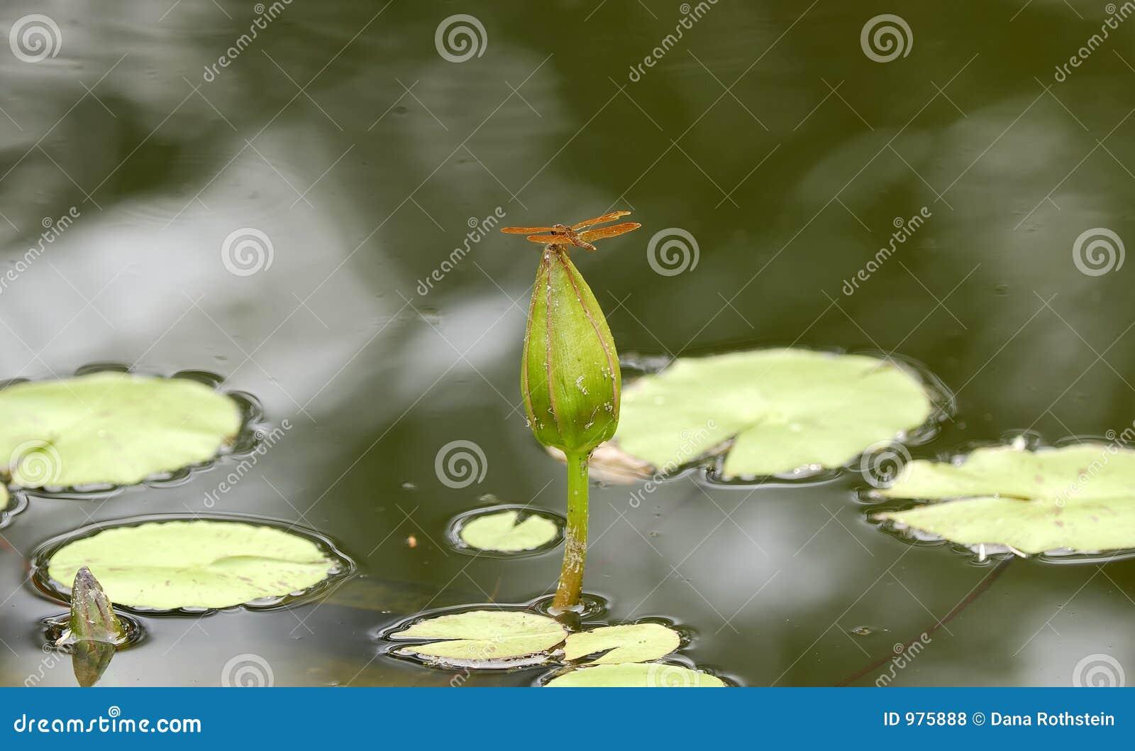 Drakefluga