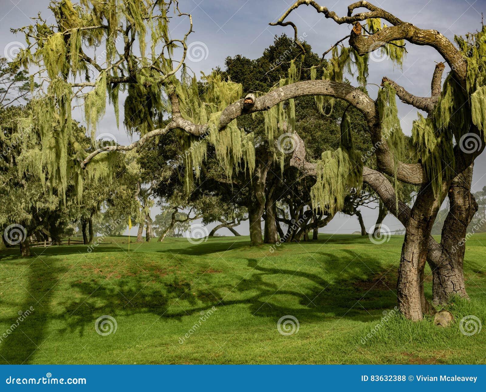 Draperade cypressträd för spansk mossa