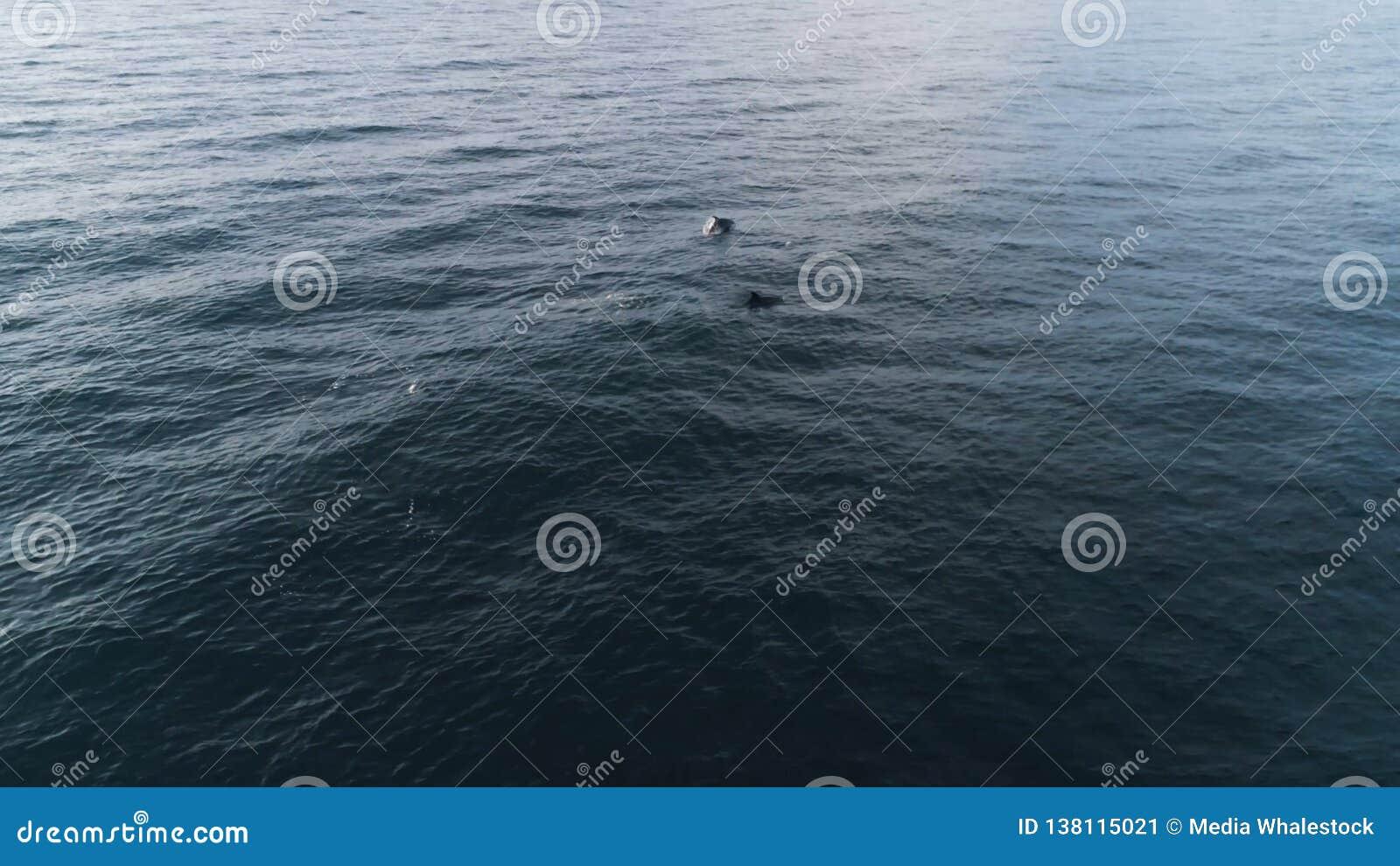 Draufsicht von den Enten, die auf See schwimmen schuß Wilde Menge von Enten schwimmt auf See im wolkigen Wetter Panoramablick von