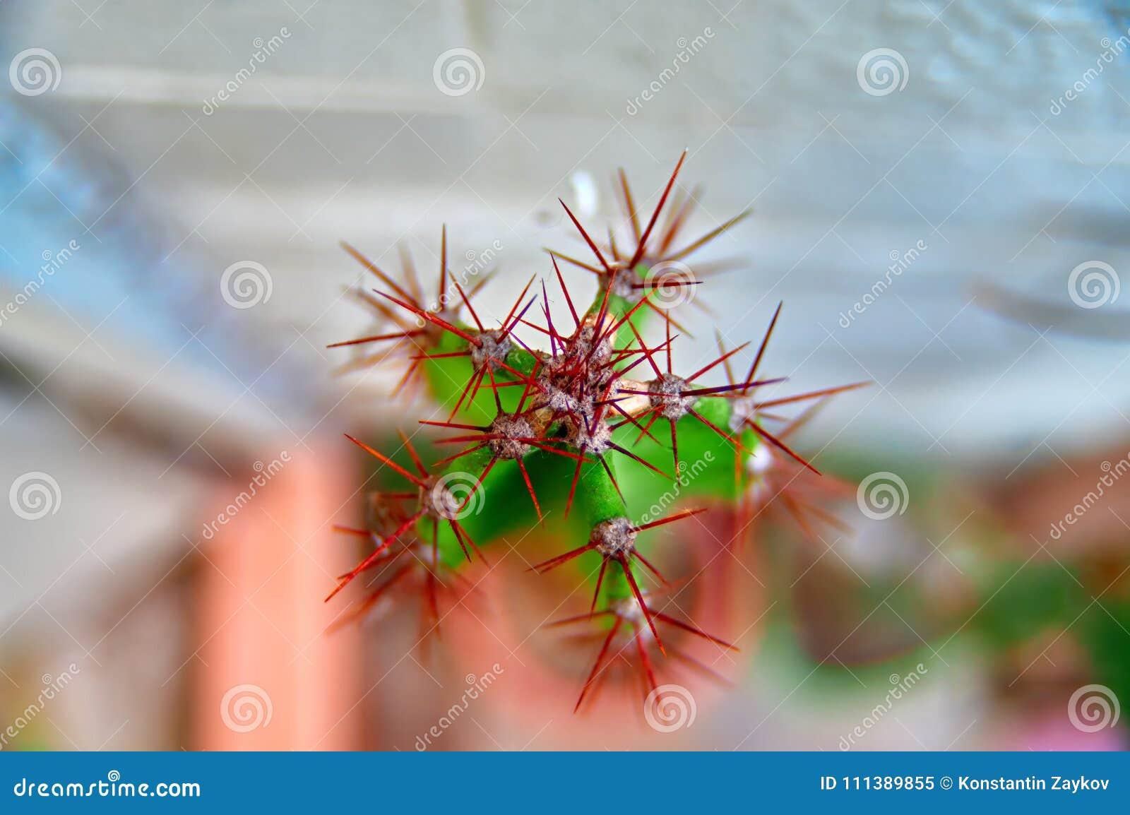 Draufsichtschießenmakrodetailhaut des Kaktus, Pelz, Dorne, Nadeln Kopieren Sie Platz Makro