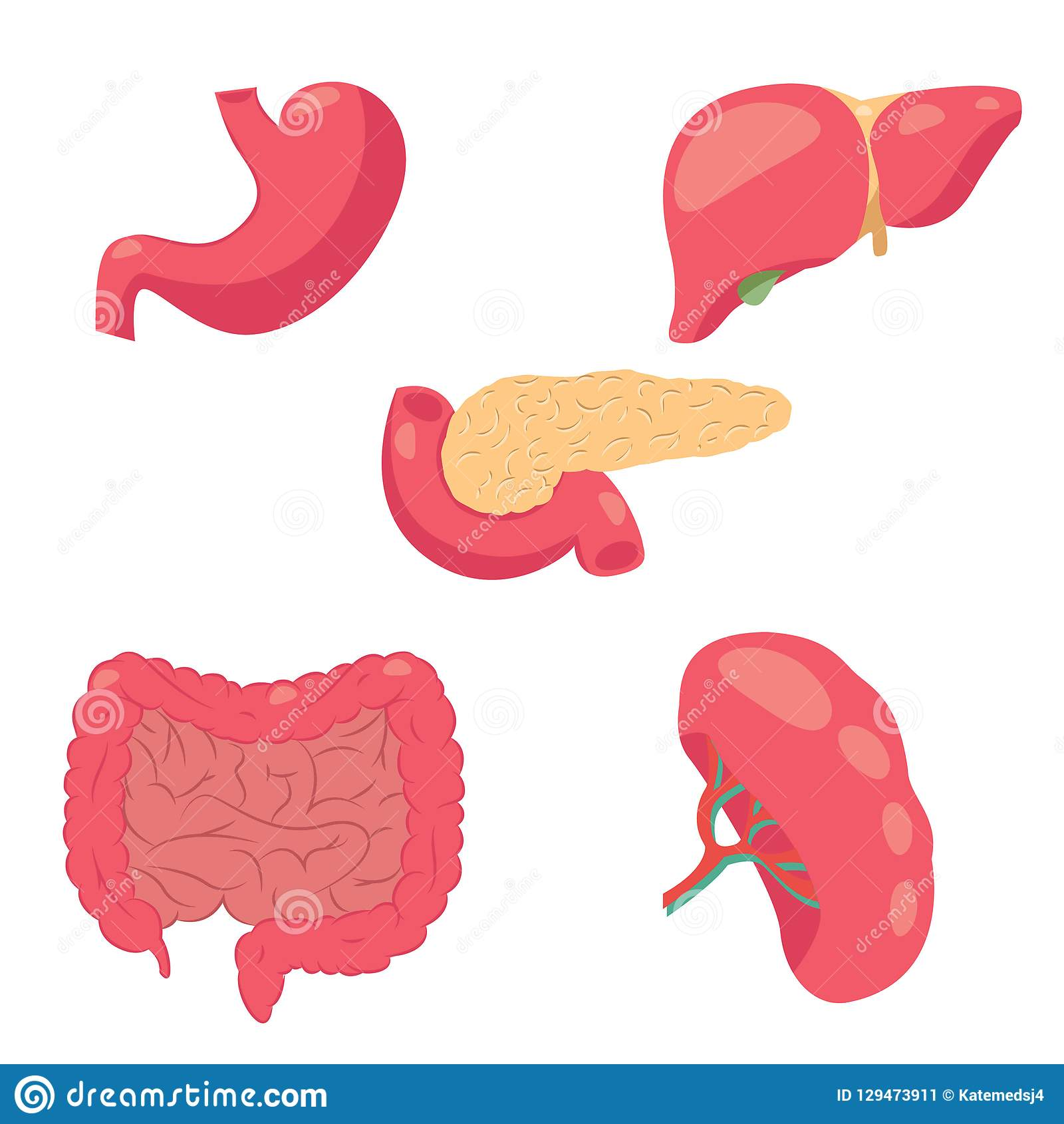Drawing Of Human Digestive System Stock Vector