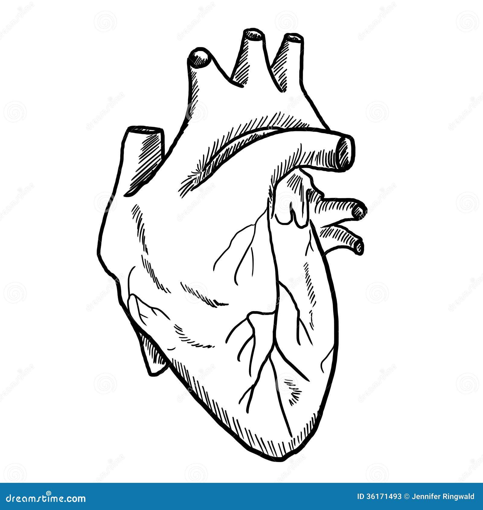 Drawing of Human Heart stock illustration. Illustration of ...