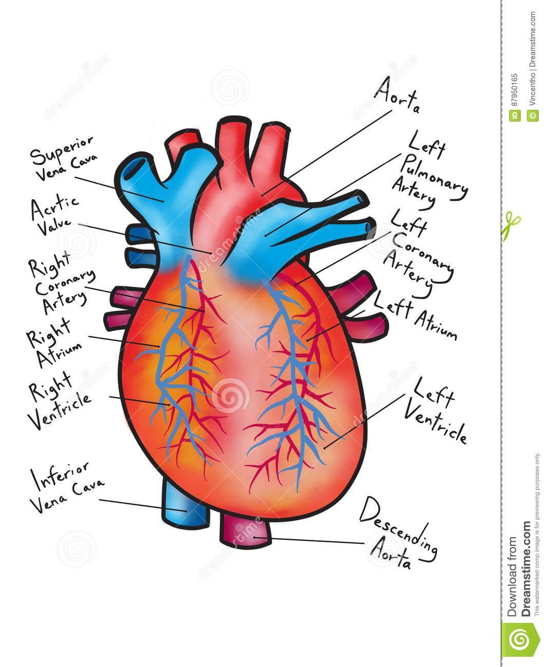 drawing of the human heart diagram illustration stock photo, Muscles