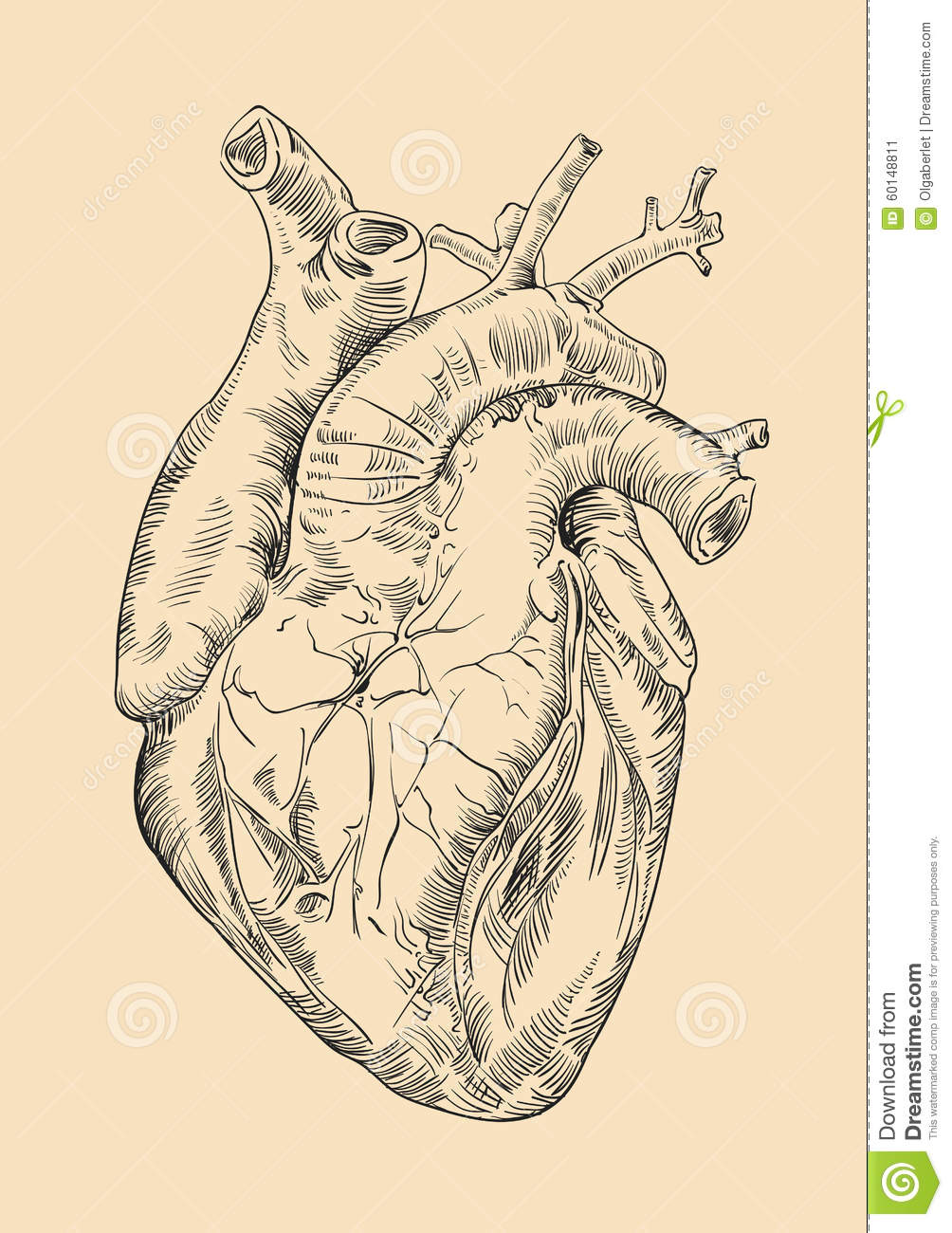 Drawing Human Heart With Flowers Stock Illustration - Illustration ...