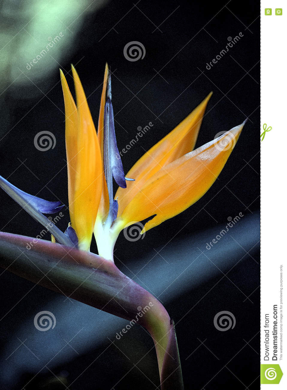 Drawing on photo of Strelitzia flower