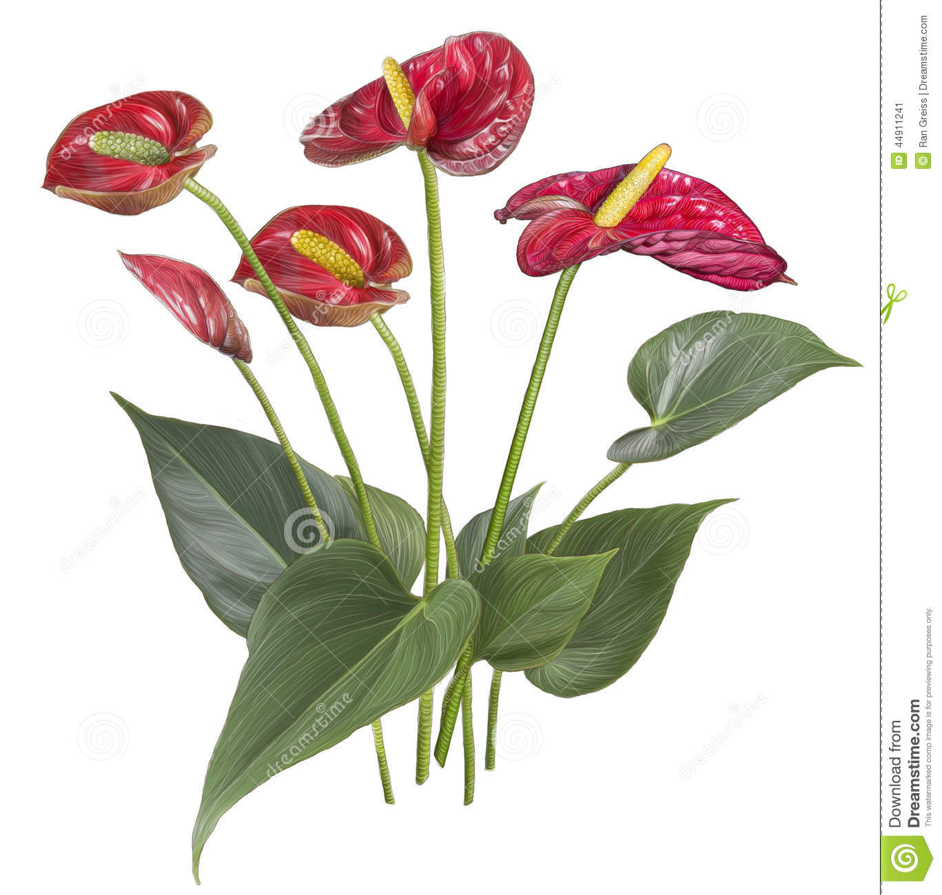 Drawing Of Red Anthurium Flower Stock Illustration