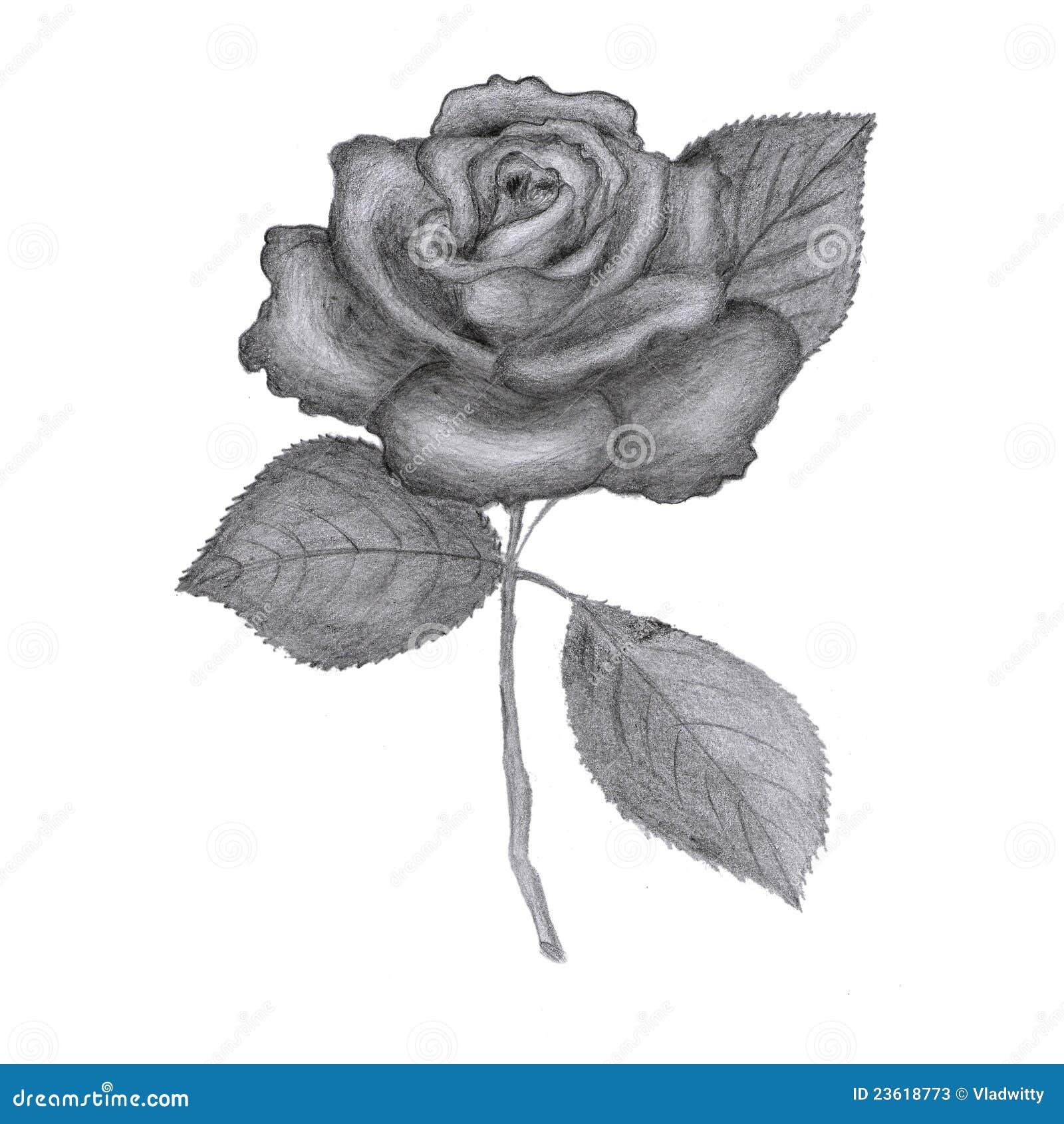 Drawn Rose Stock Photos Image 23618773