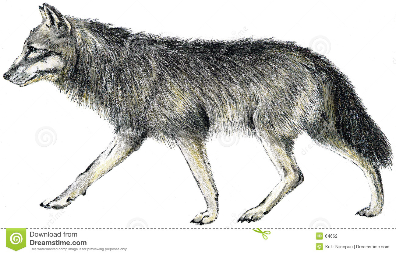 Hand drawn illustration of the gray wolf. Scanned. My work for the ...