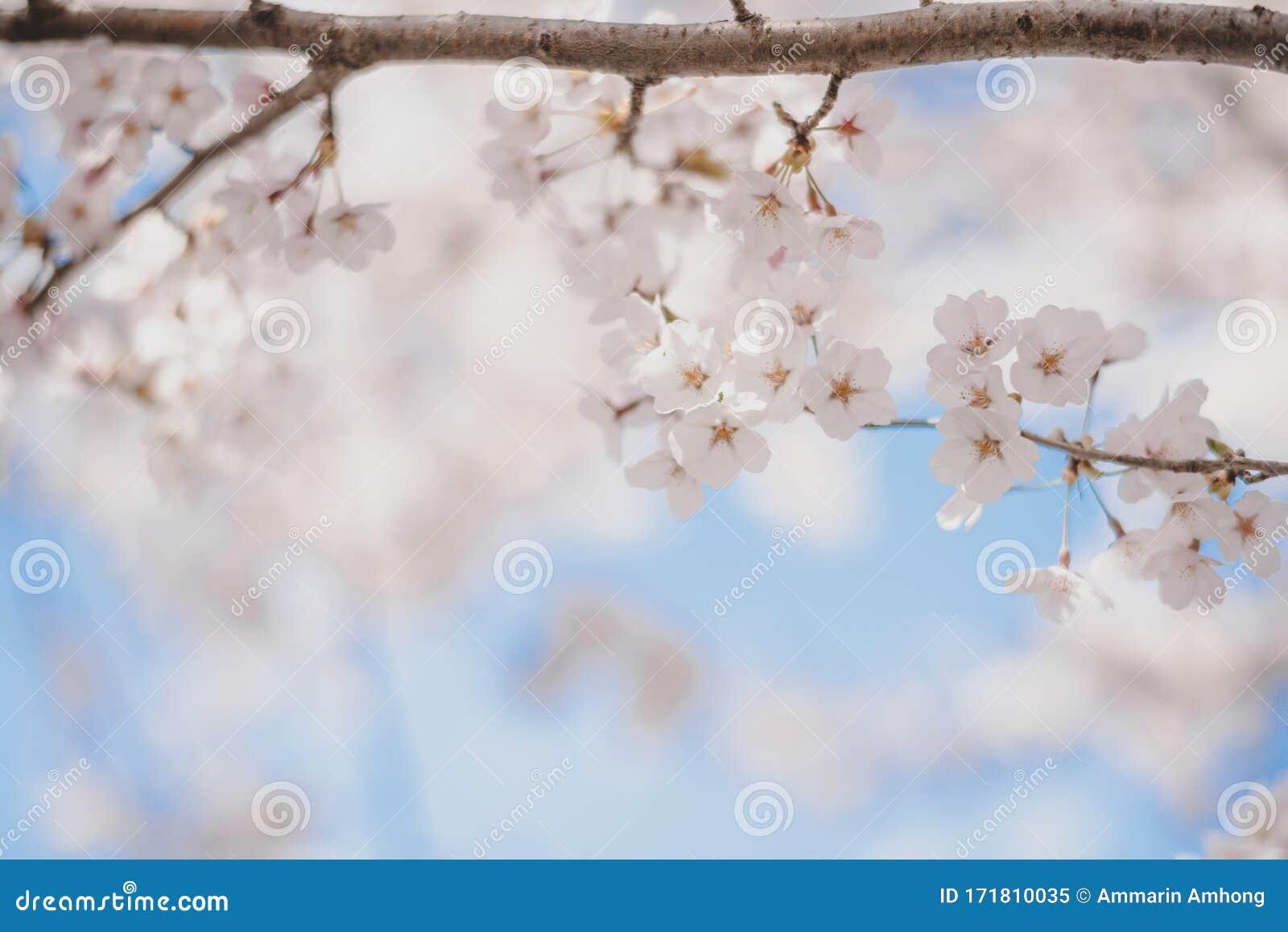 Dreamy Cherry Blossoms As A Natural Border, Studio ...