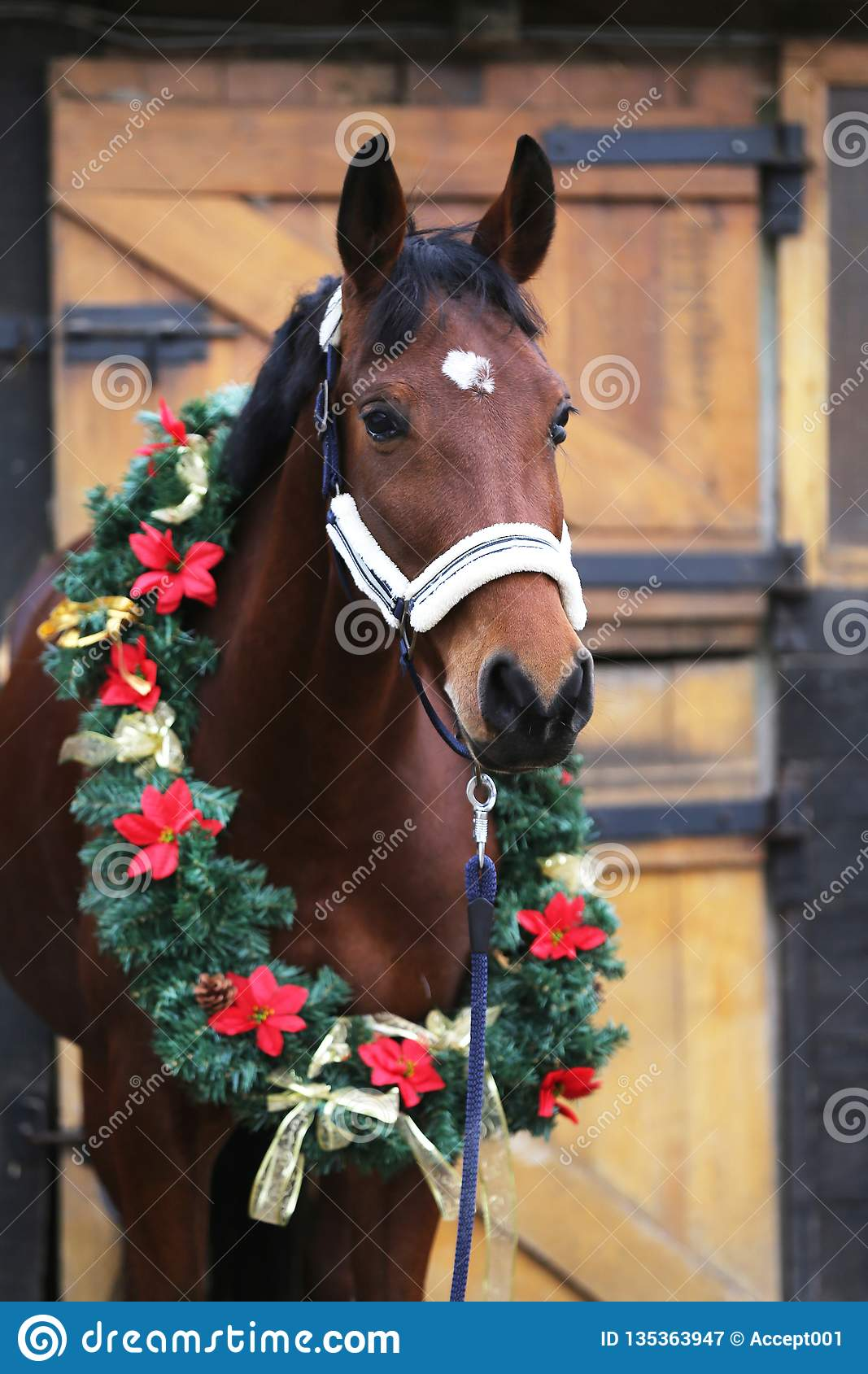 Dreamy Image Of A Saddle Horse Wearing A Beautiful Christmas Wreath At Rural Riding Hall Against Barn Door Stock Image Image Of Fresh Colorful 135363947
