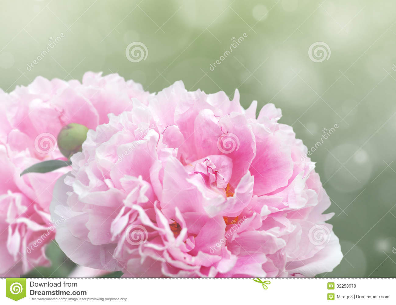 Dreamy Pink Peonies Stock Photo Image Of Leaf Bokeh 32250678