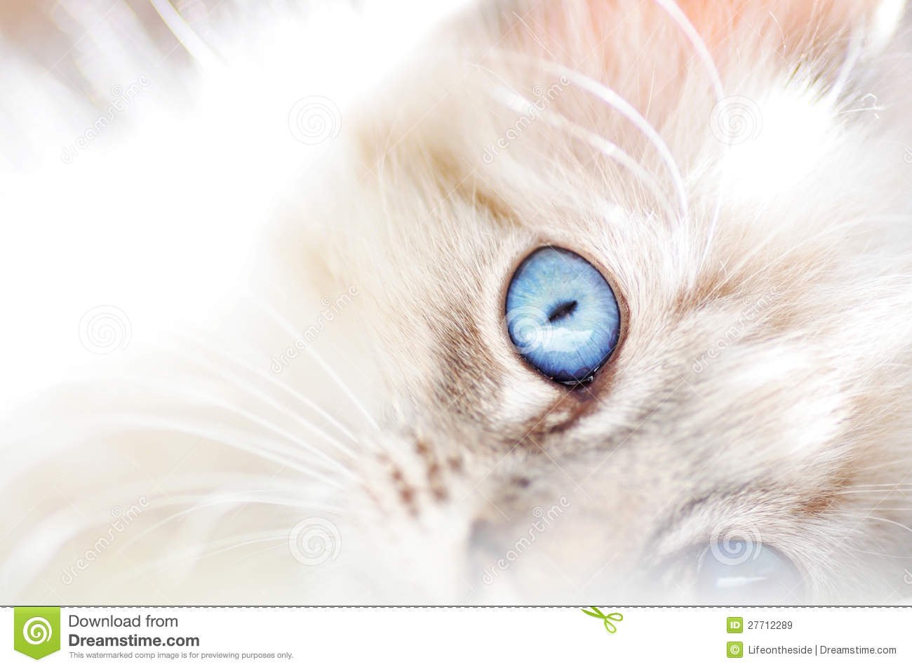 Dreamy Soft Abstract Background White Fluffy Cat Royalty ...