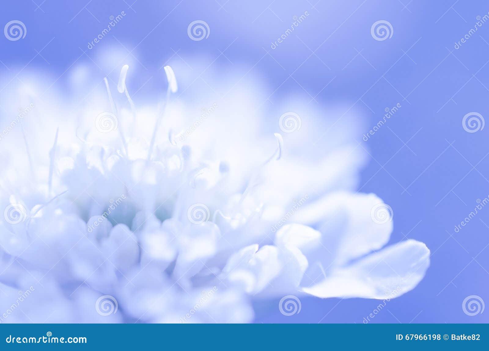 Dreamy White Flower On Blue Background Stock Photo - Image ...