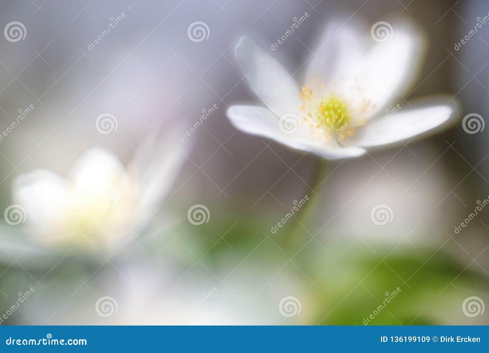 Dreamy wild wood anemone in soft focus