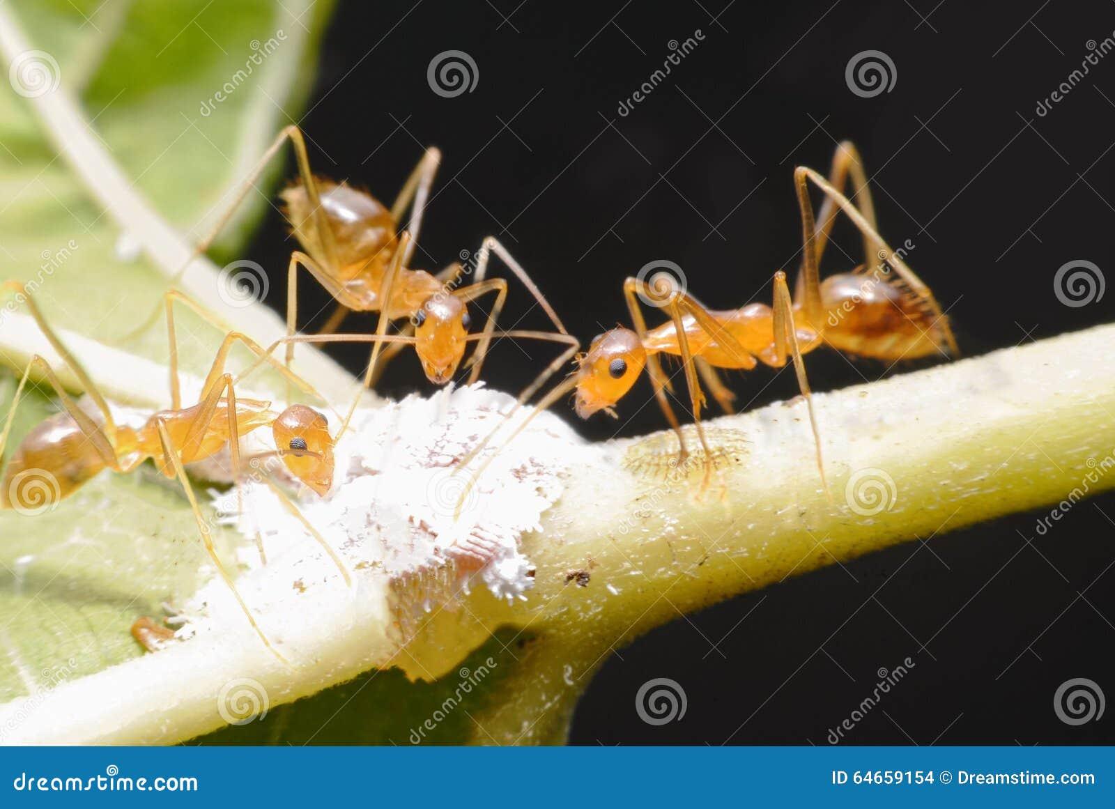 Drei Ameisen essen