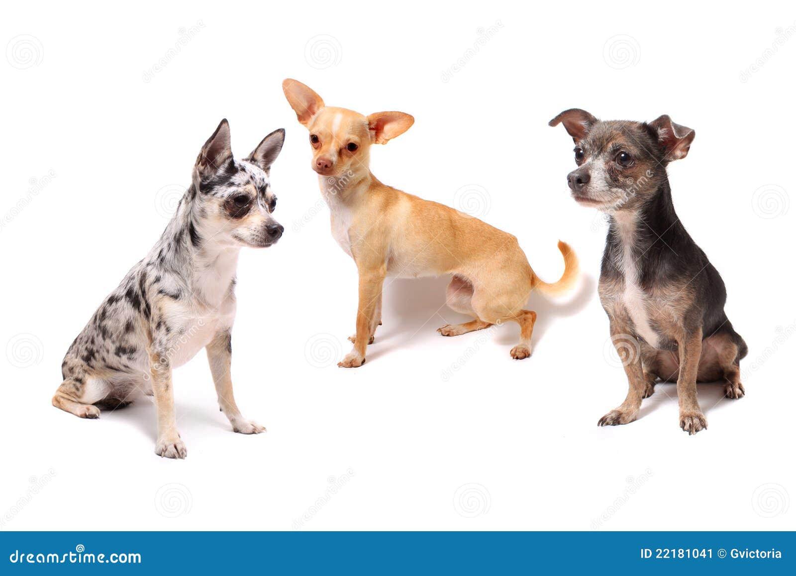 Drei Chihuahuahunde