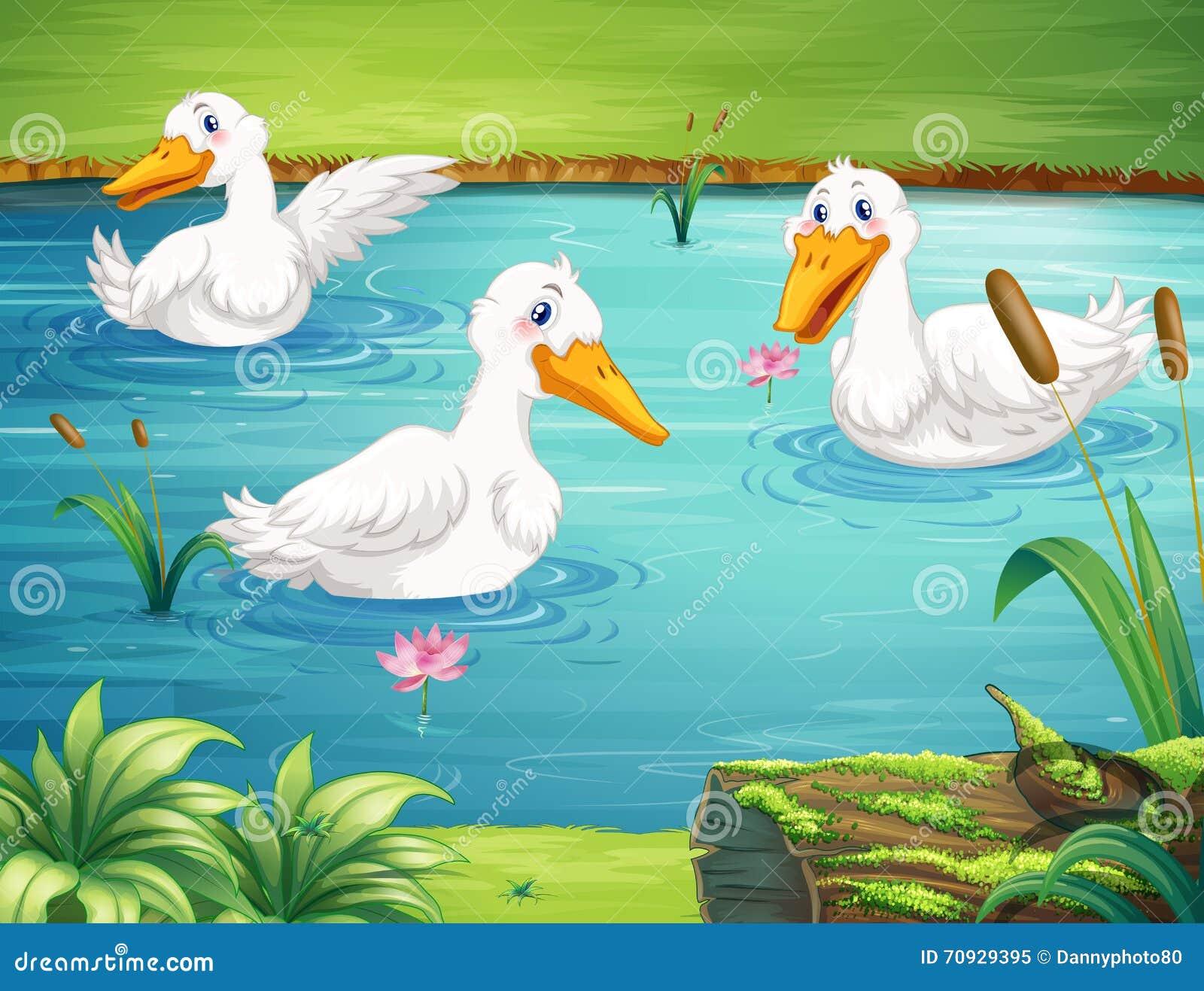 Drei Enten, die im Teich schwimmen