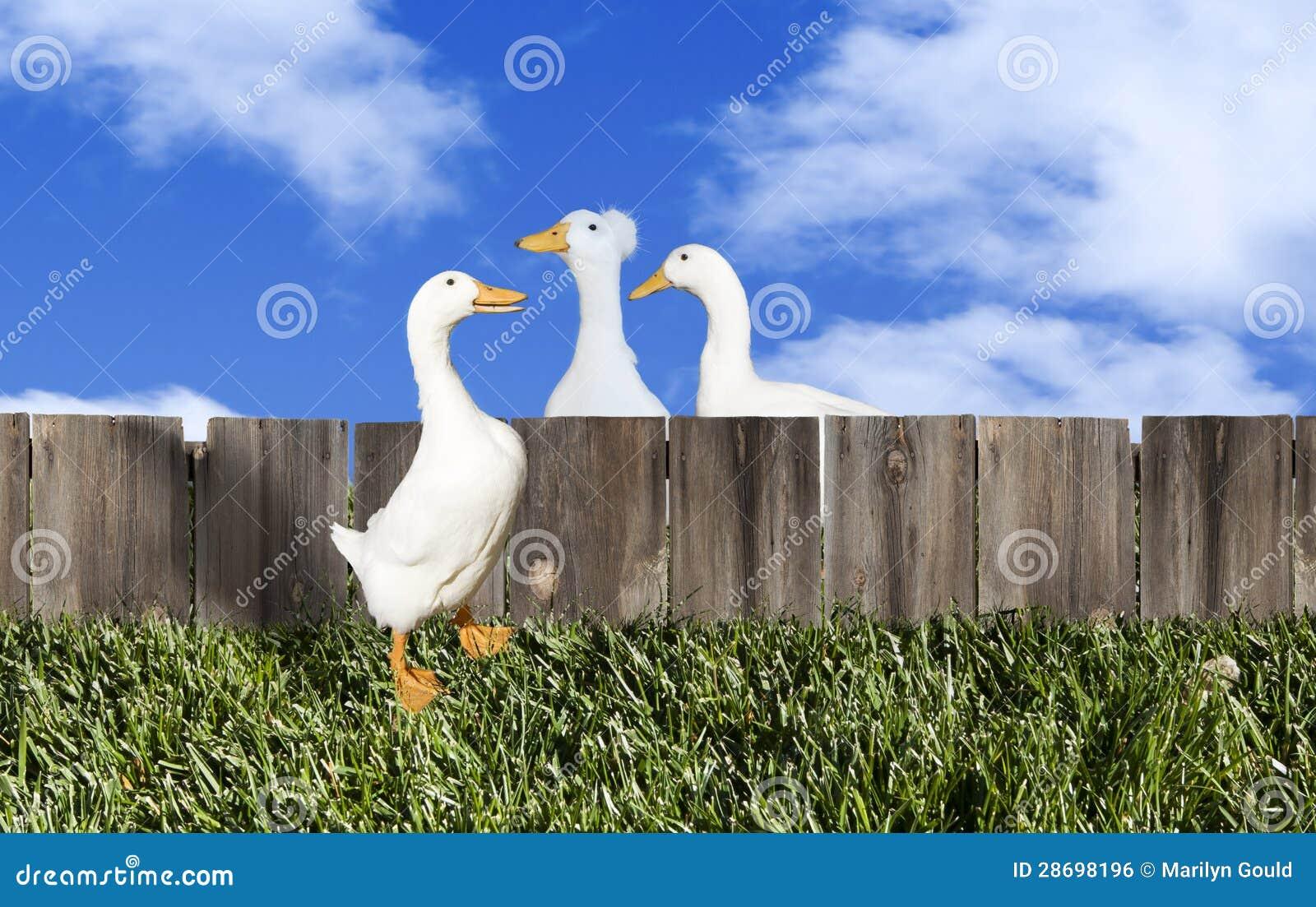Drei Enten Zaun Stockfoto Bild Von Spass Plaudern Lustig 28698196