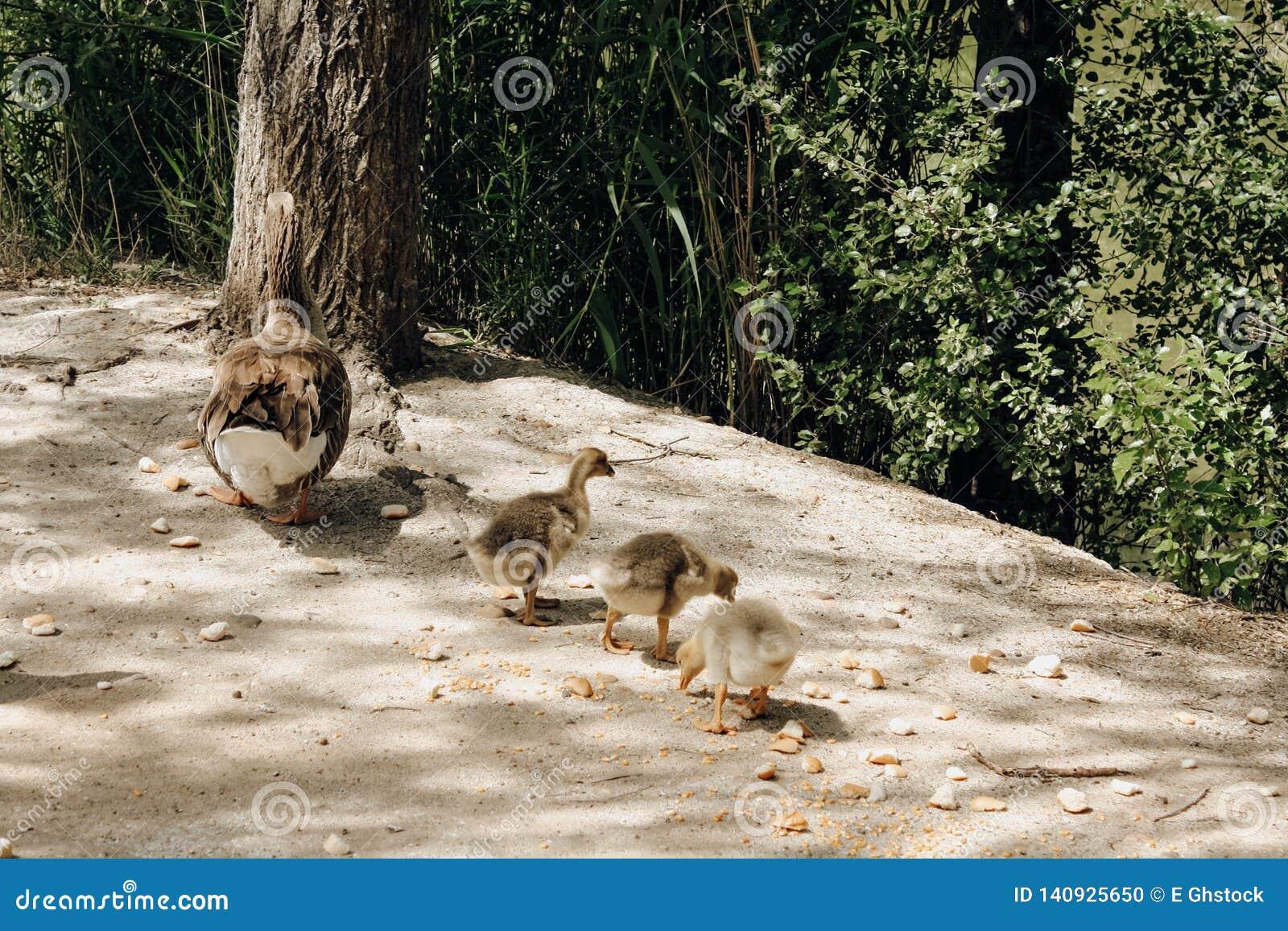 Drei Entlein mit ihrer Mutter im Park