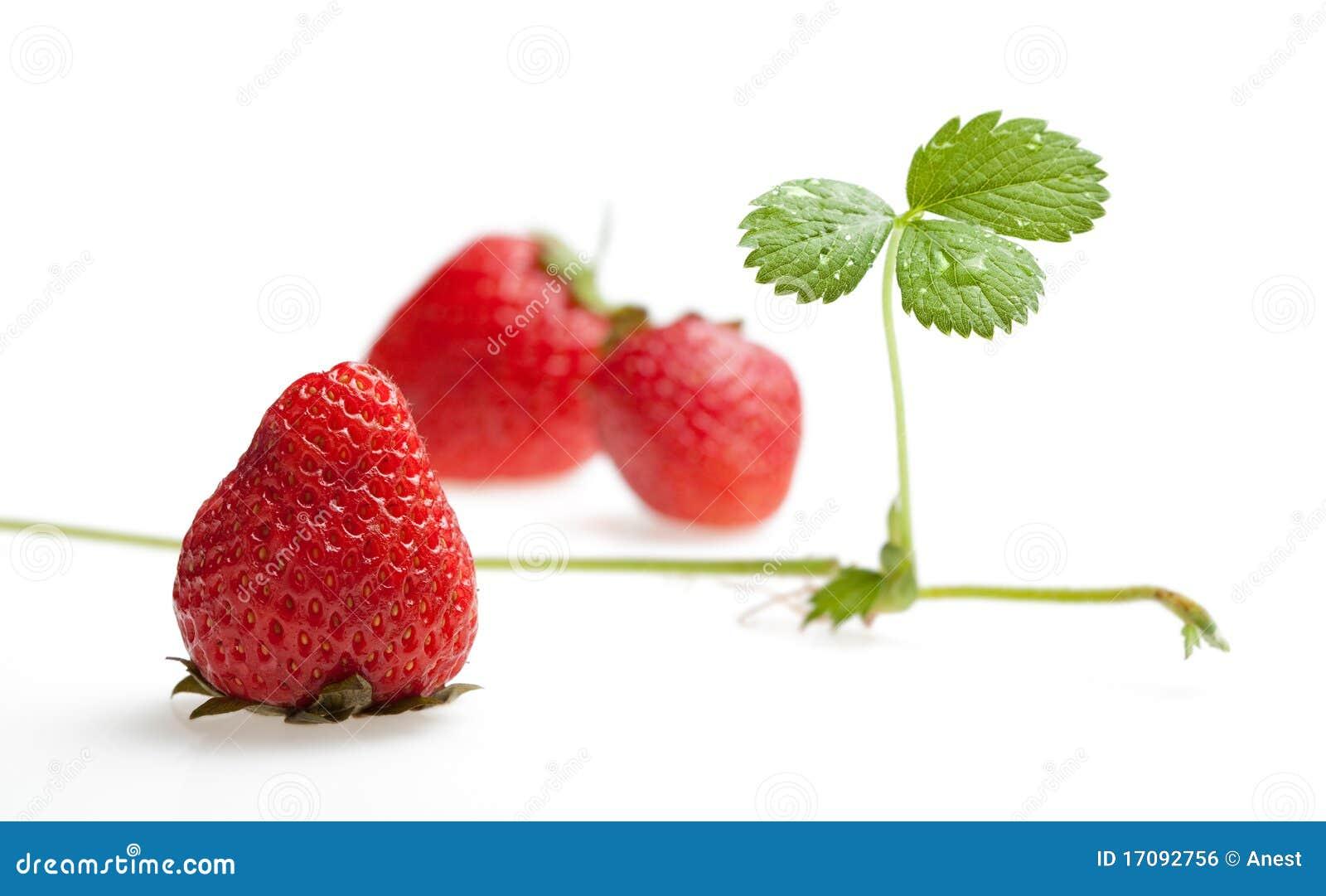 Drei Erdbeeren und Sprössling mit Seitentrieb