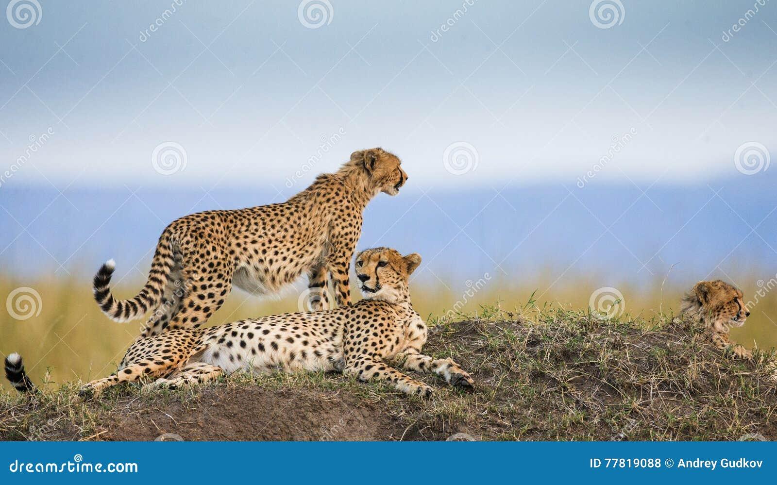 Drei Geparde in der Savanne kenia tanzania afrika Chiang Mai serengeti Maasai Mara