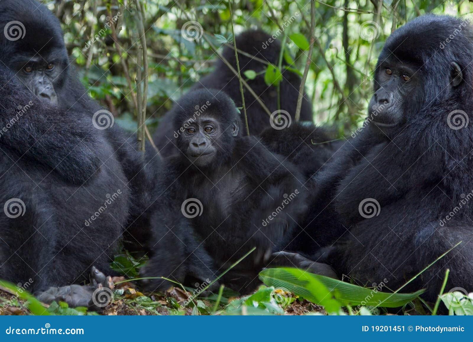 Drei Gorillas