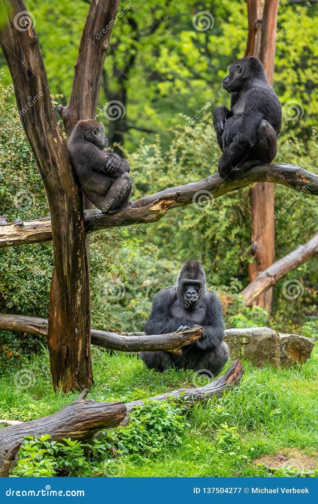 Drei Gorillas betrachten einander in der Ruhe