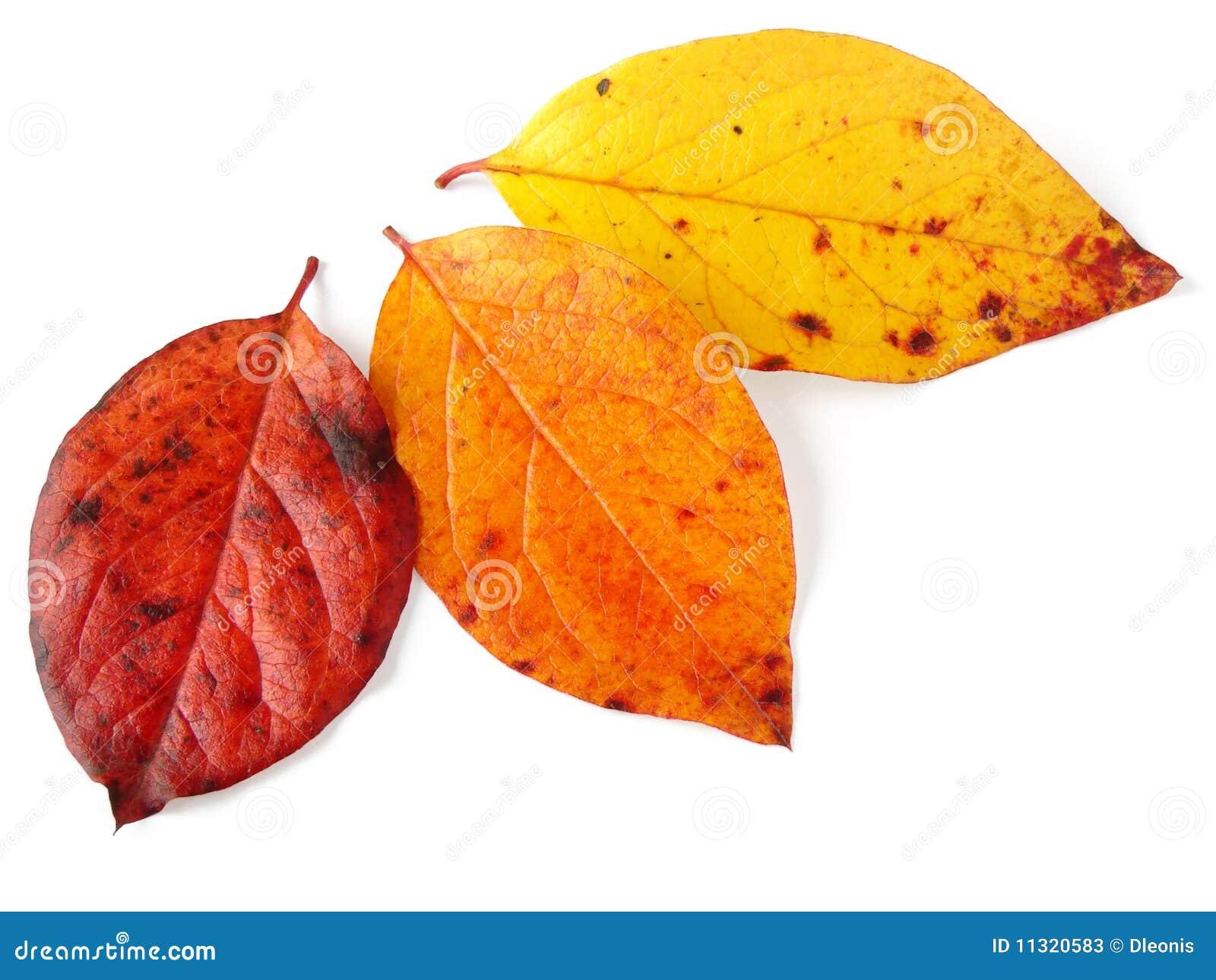 Drei herbstliche Blätter