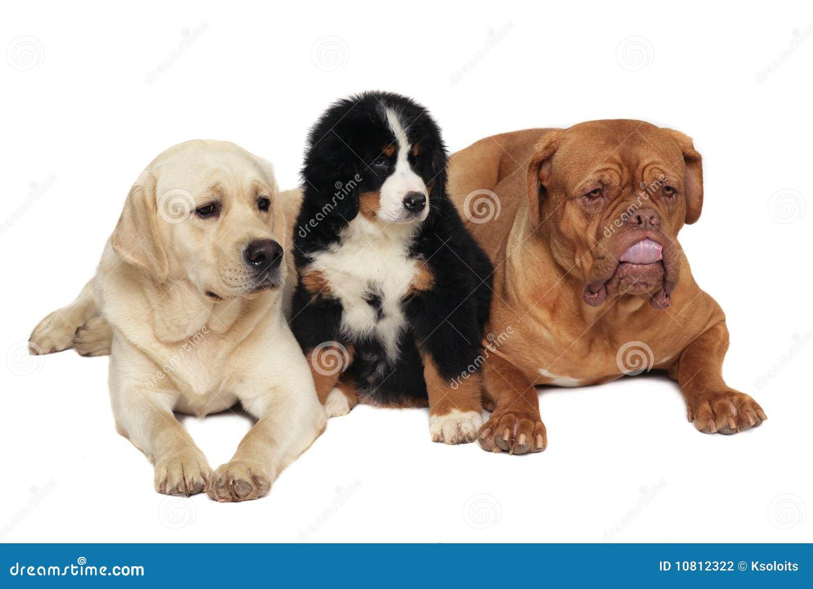 Drei Hunde auf einem weißen Hintergrund.