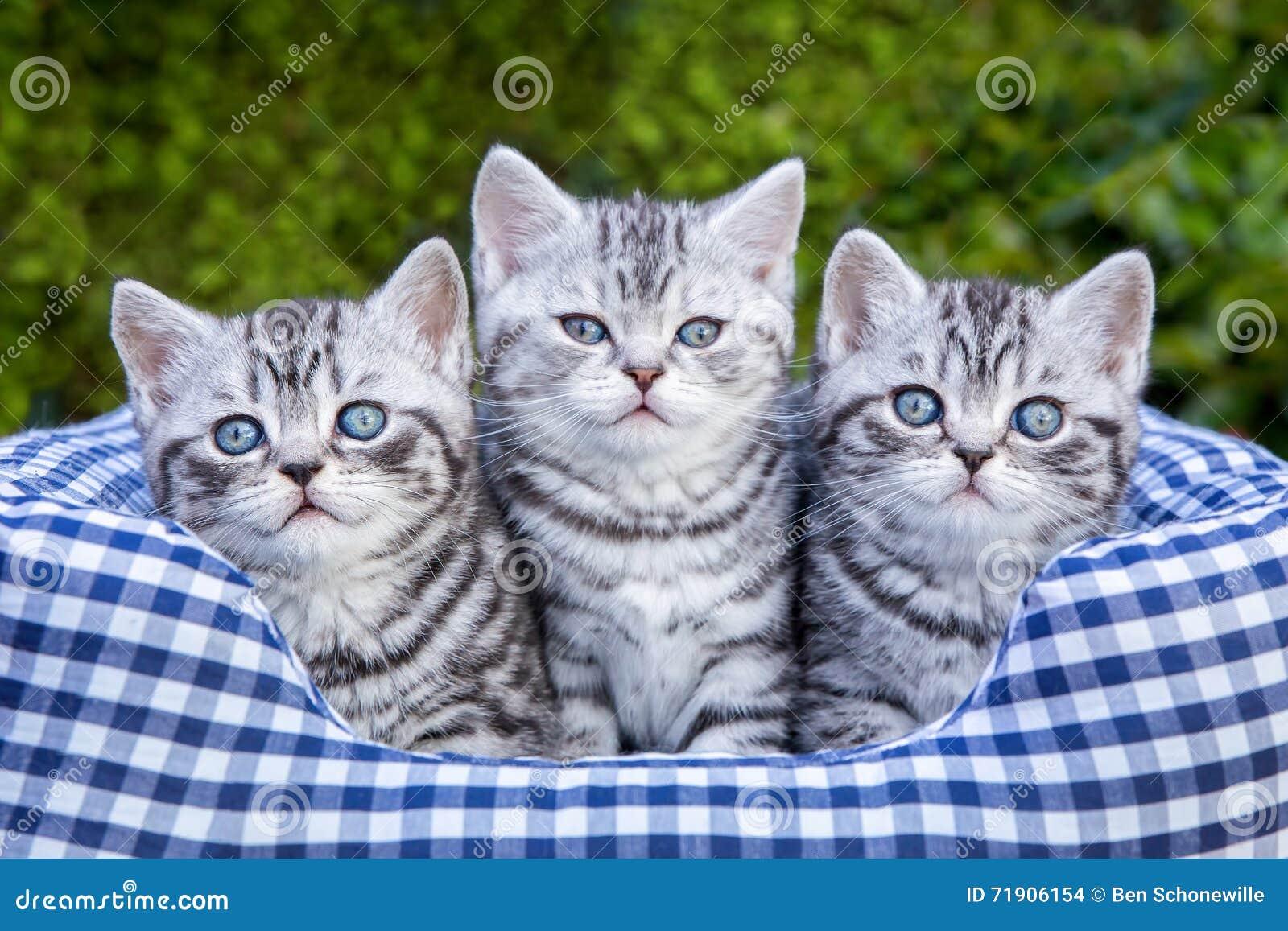 drei junge silberne katzen der getigerten katze im. Black Bedroom Furniture Sets. Home Design Ideas