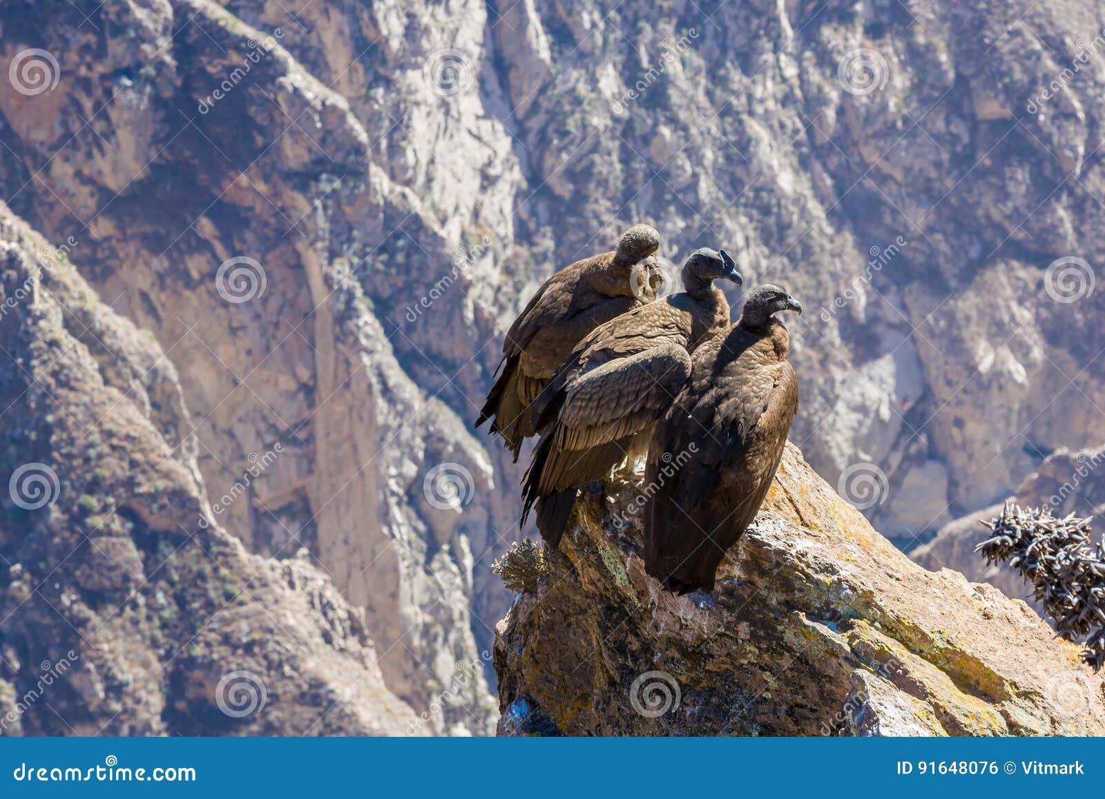 Drei Kondore Am Colca Schluchtsitzen Peru Südamerika Dieses Ist